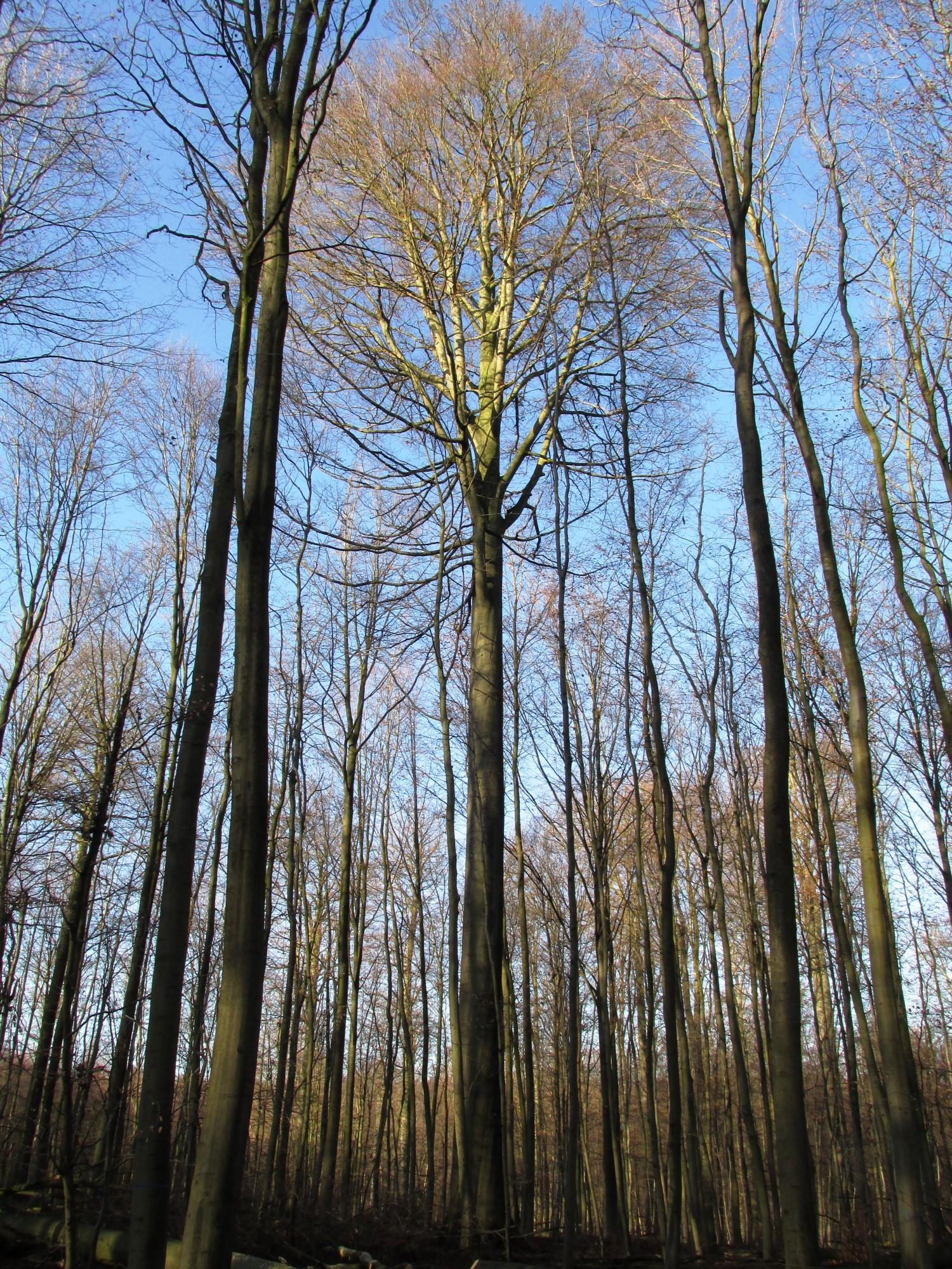 Hêtre d'Europe – Watermael-Boitsfort, Forêt de Soignes, Bonnier I –  01 Janvier 2014