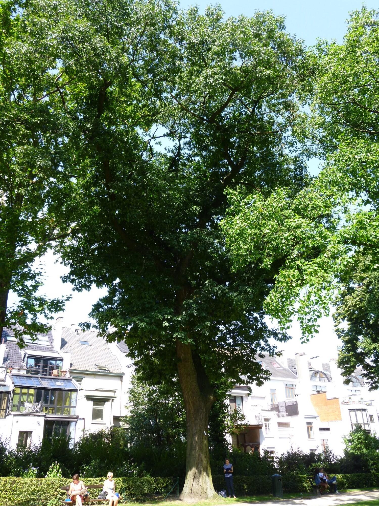 Chêne rouge d'Amérique – Bruxelles, Parc d'Egmont –  21 Août 2013