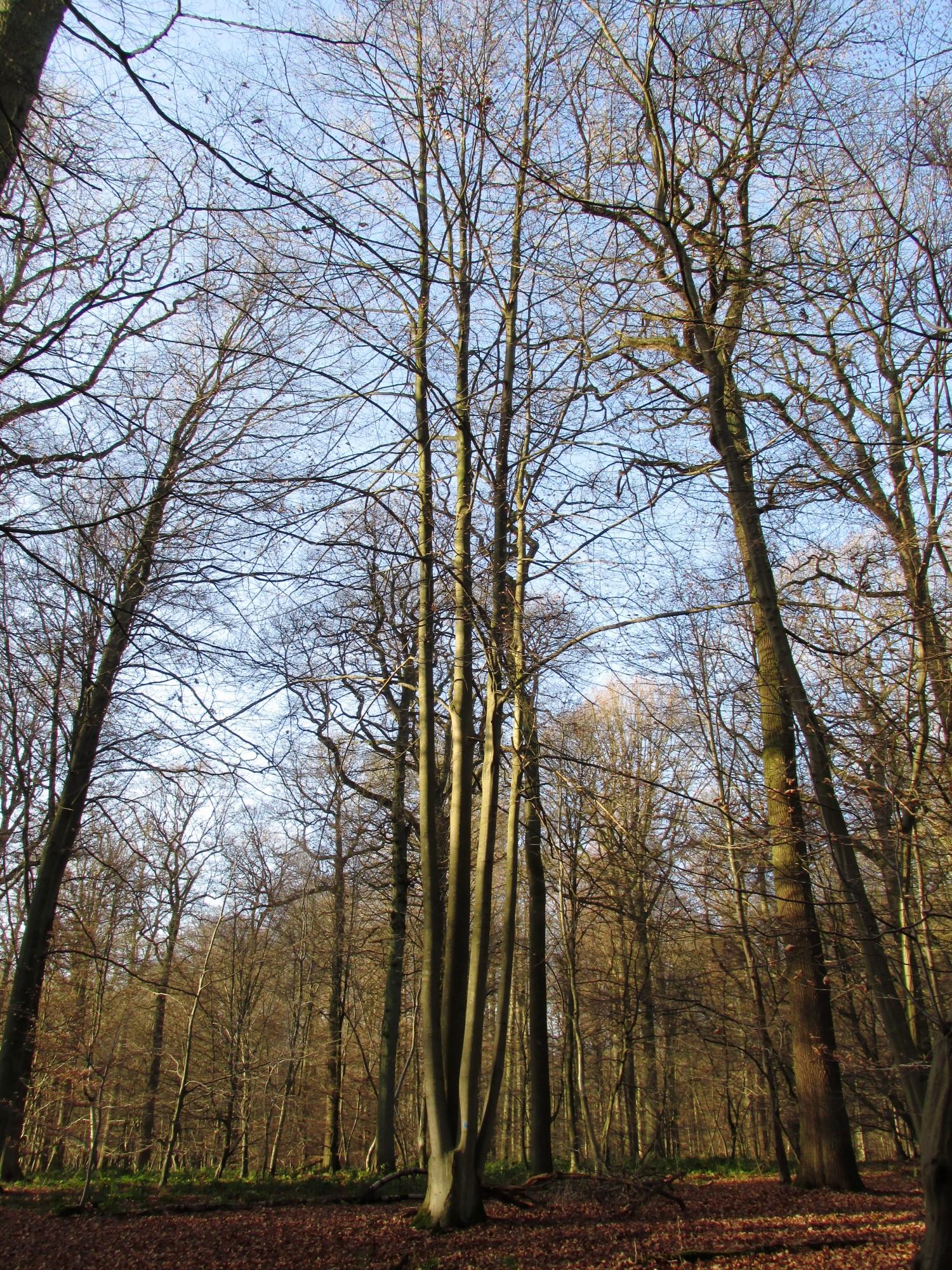 Hêtre d'Europe – Watermael-Boitsfort, Forêt de Soignes, Bonnier VII –  01 Janvier 2014