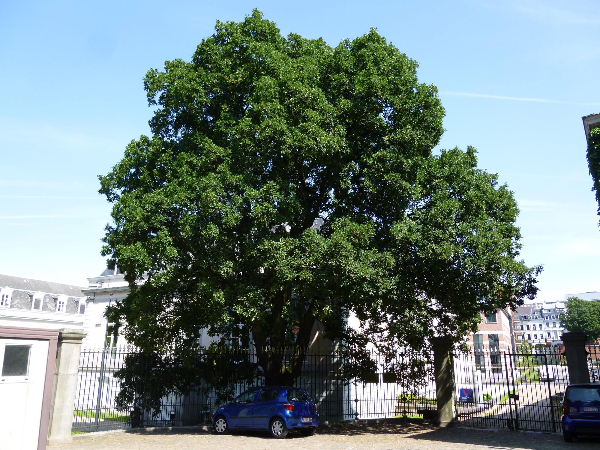 Chêne de Turner – Bruxelles, Parc d'Egmont, Place du Petit Sablon, 8 –  22 Août 2013
