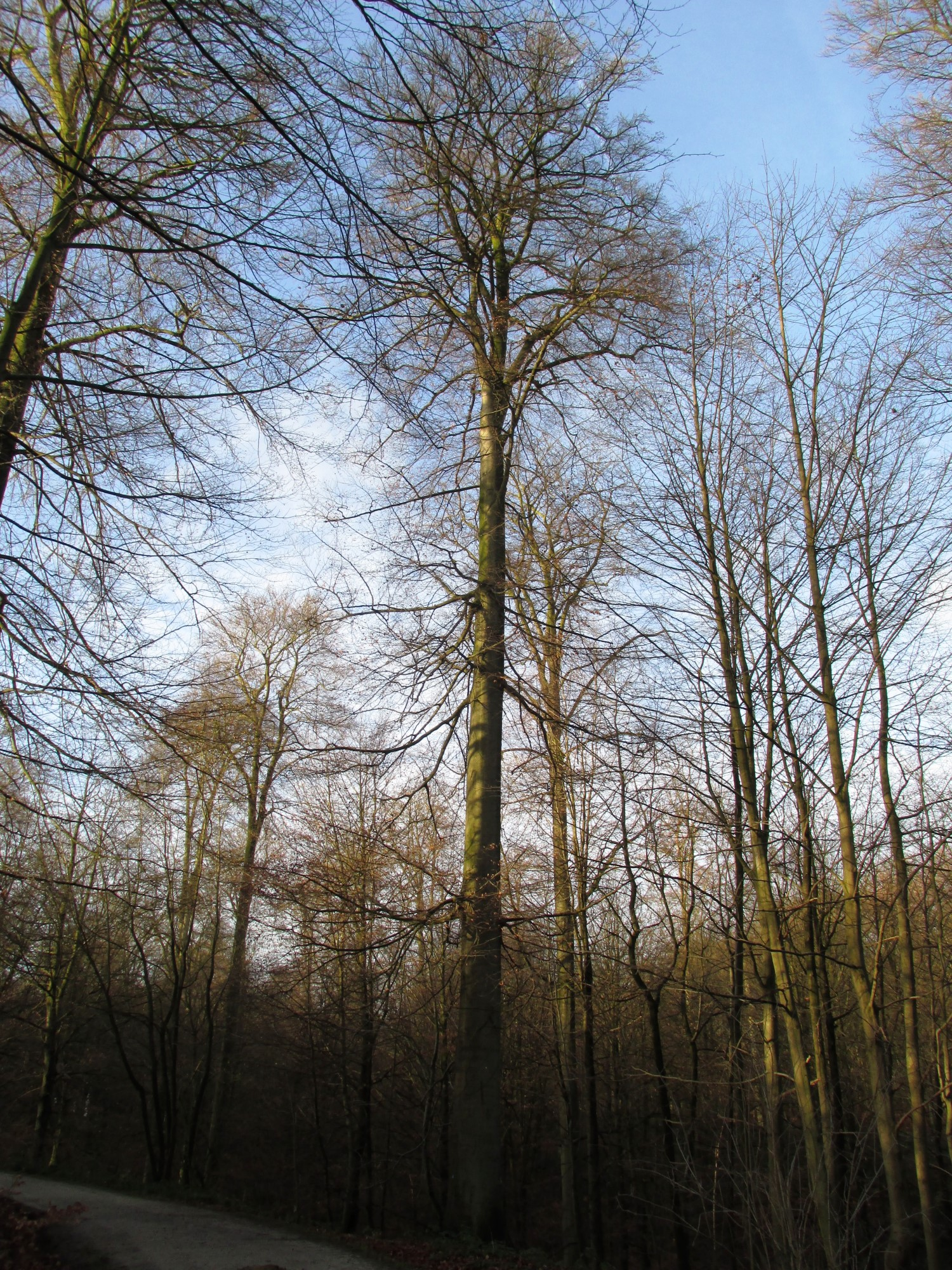 Hêtre d'Europe – Uccle, Forêt de Soignes, Infante VII –  01 Janvier 2014