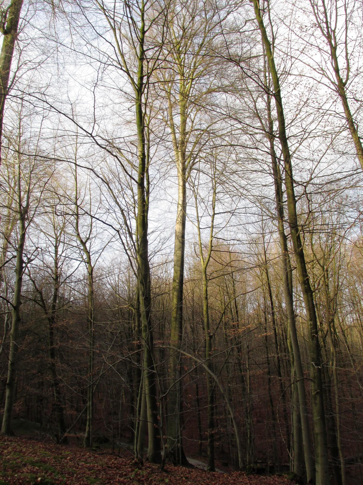 Hêtre d'Europe – Uccle, Forêt de Soignes, Infante VI –  01 Janvier 2013