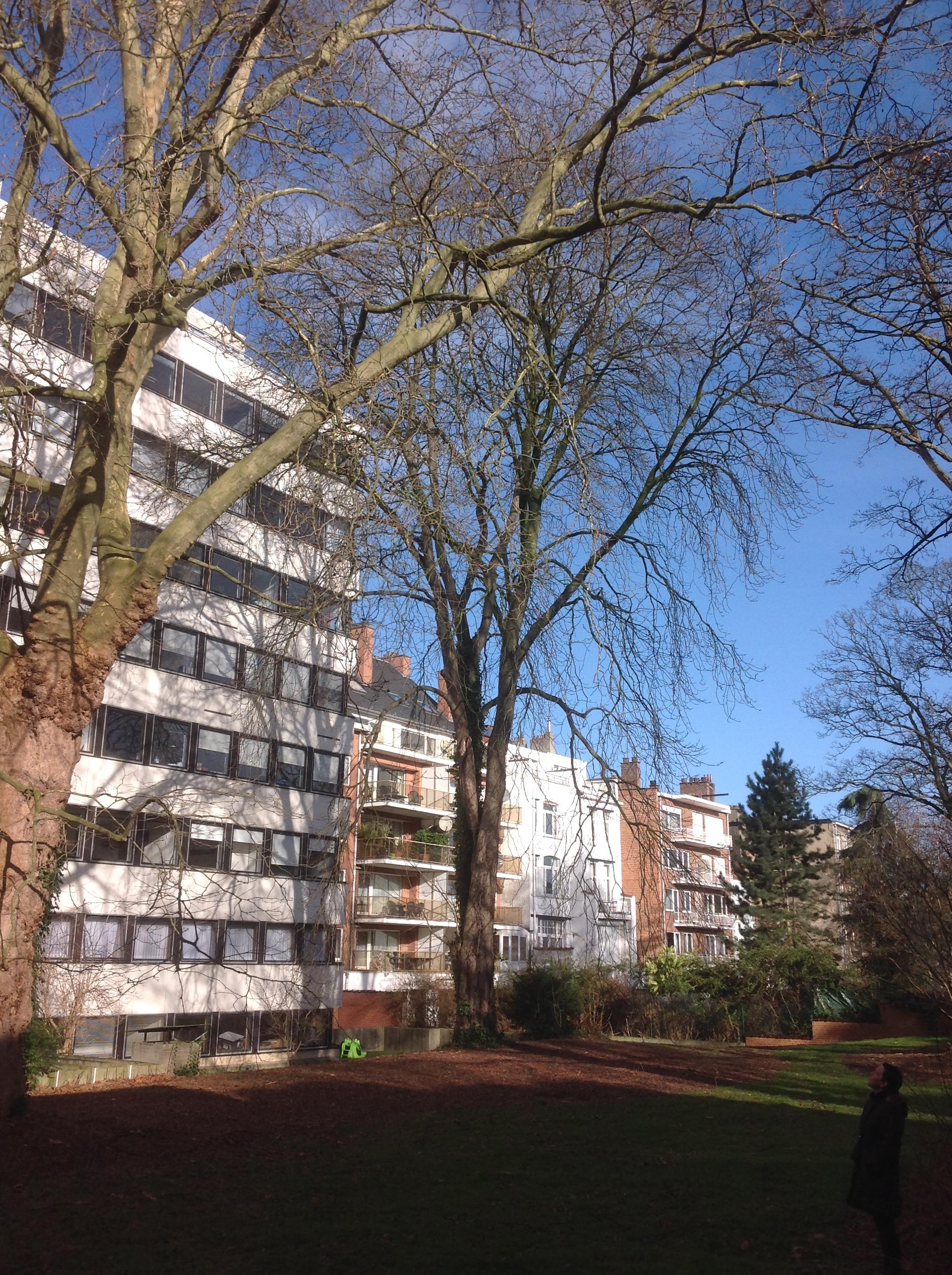 Marronnier commun – Ixelles, Rue Gachard, 88 –  05 Février 2014