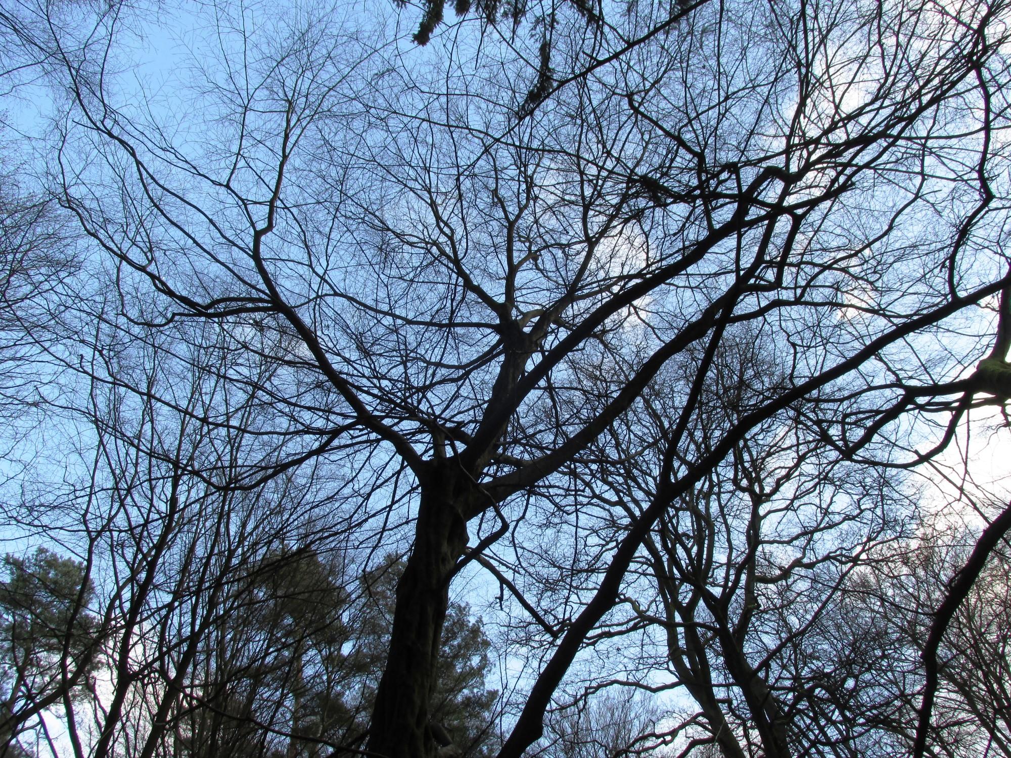 Charme commun – Uccle, Forêt de Soignes, Saint-Hubert V –  01 Janvier 2014
