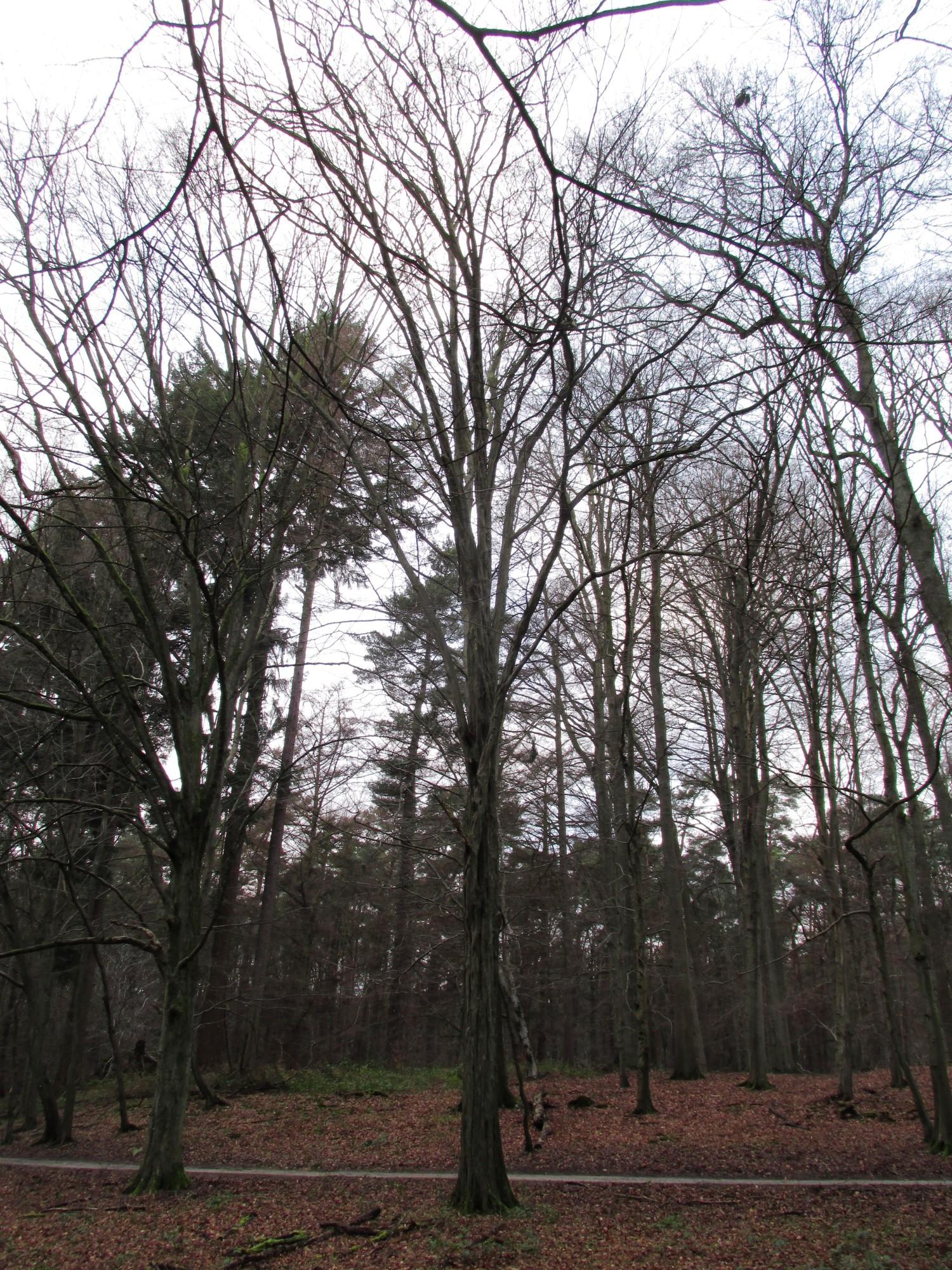 Charme commun – Uccle, Forêt de Soignes, Saint-Hubert VIII –  01 Janvier 2014