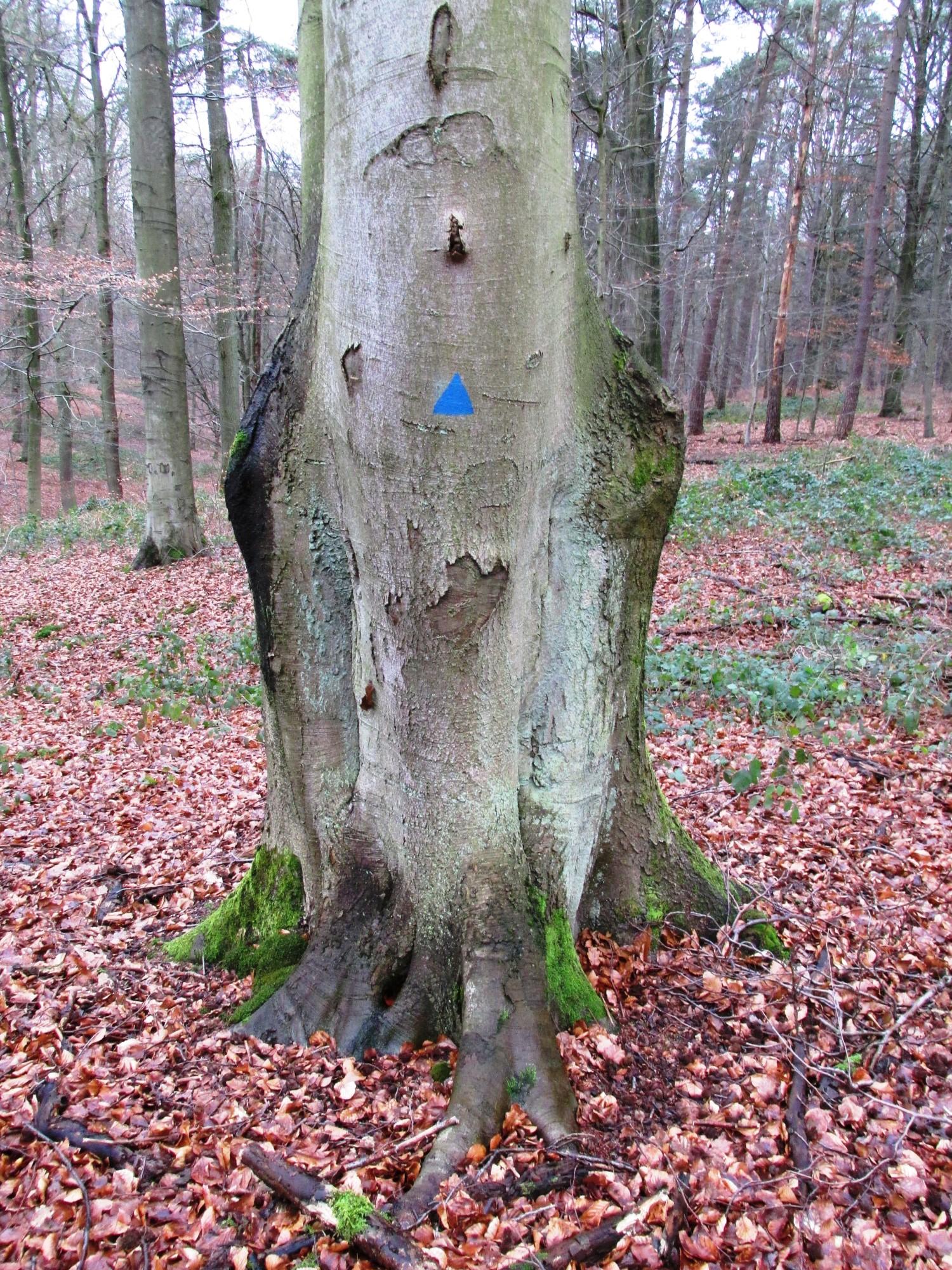 Hêtre d'Europe – Uccle, Forêt de Soignes, Infante II –  01 Janvier 2014
