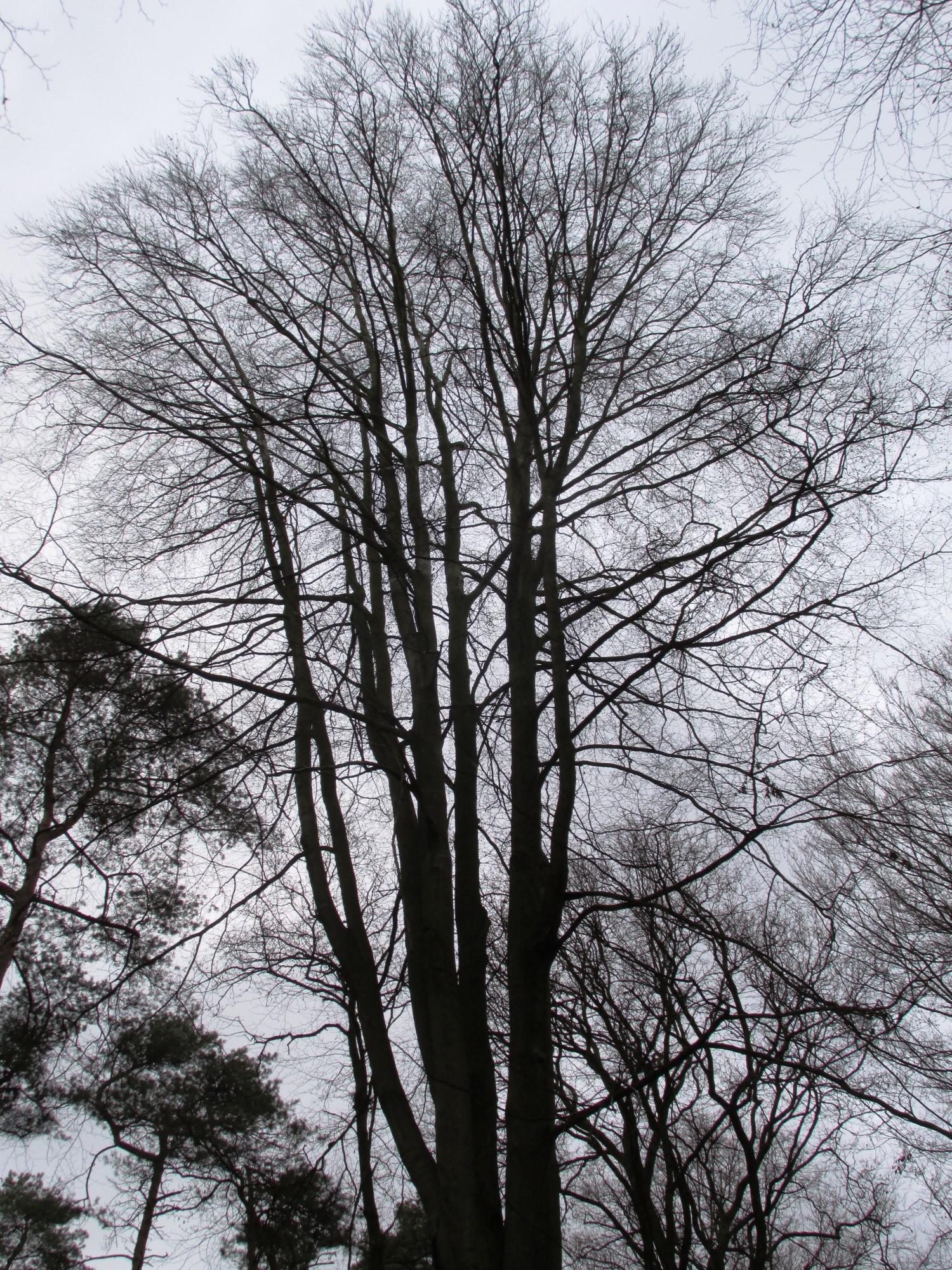 Beuk – Ukkel, Zoniënwoud, Infante II –  01 Januari 2014