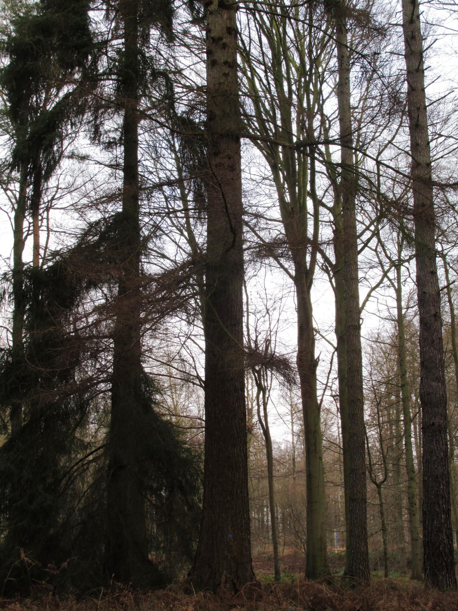 Mélèze d'Europe, Forêt de Soignes,  01 Janvier 2014