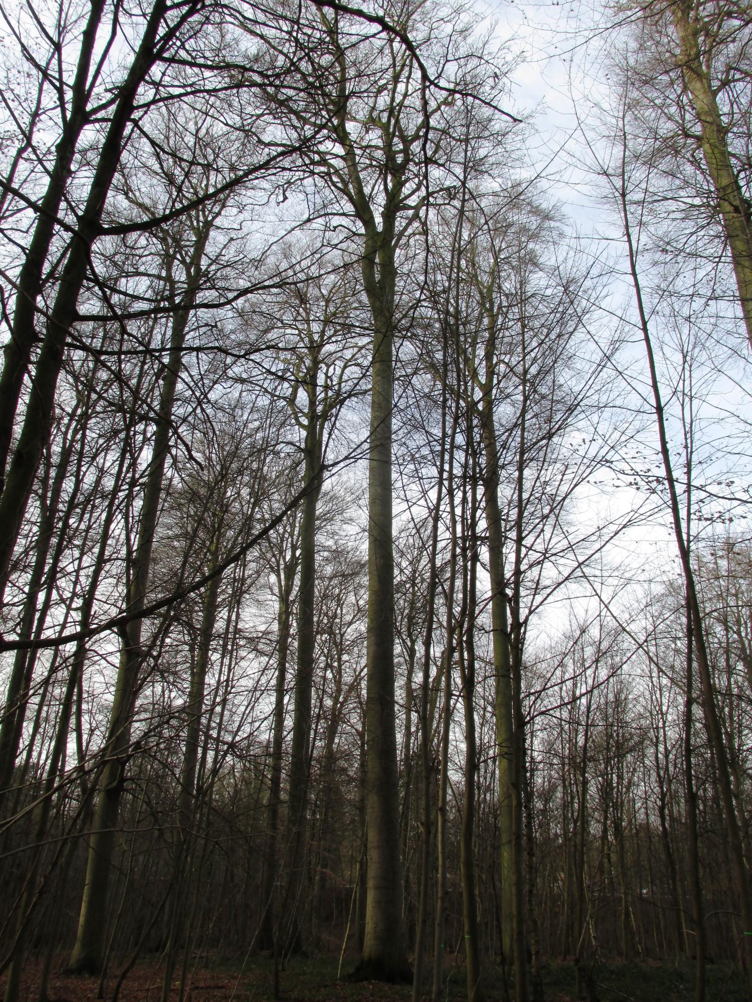 Beuk – Ukkel, Zoniënwoud, Saint-Hubert III –  01 Januari 2014