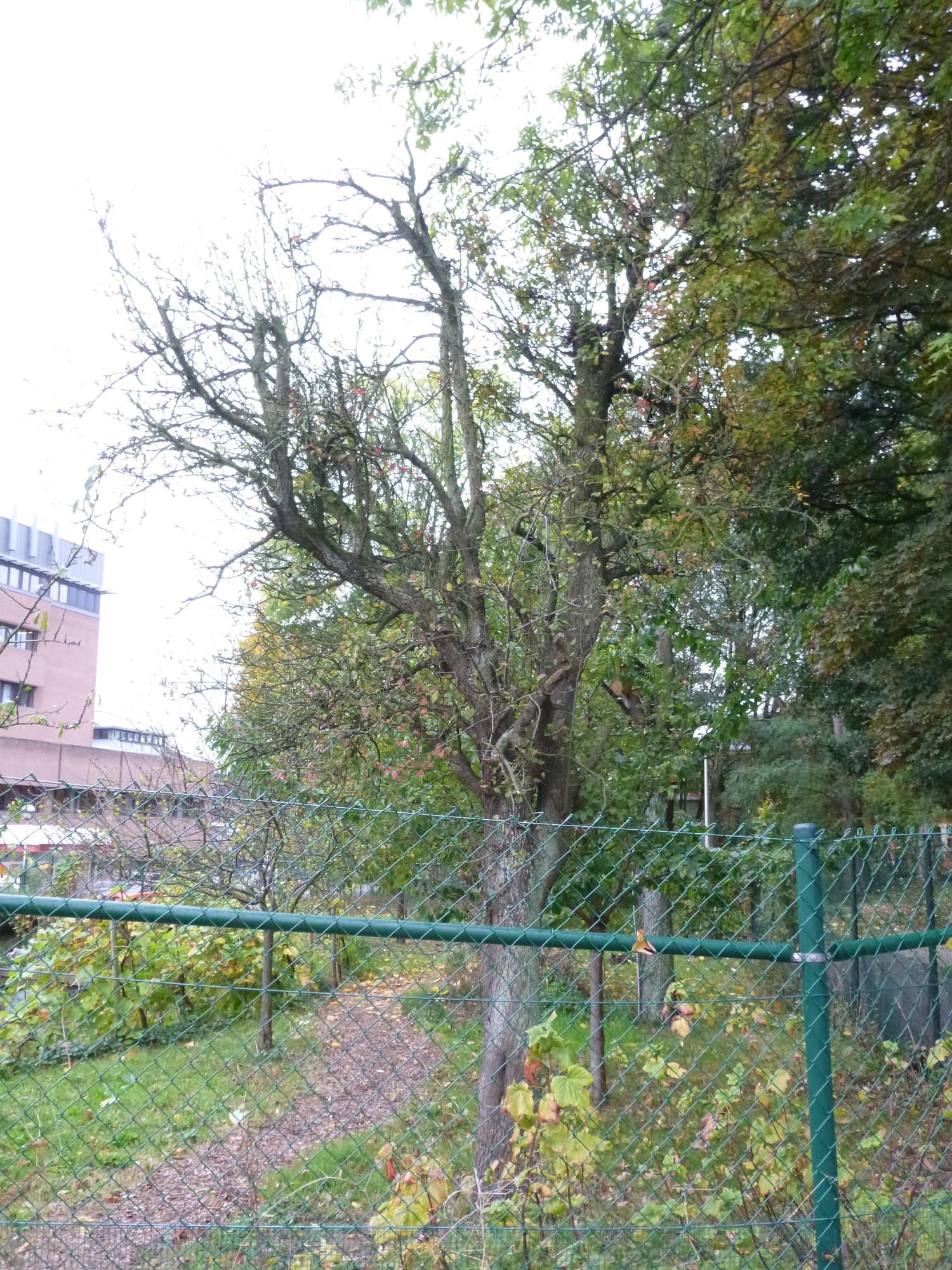Poirier cultivé – Bruxelles, Site de l'Hôpital Brugmann , parc –  21 Octobre 2014