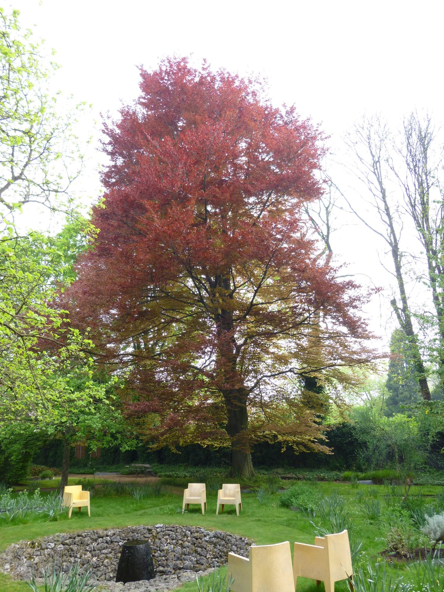 Rode beuk – Anderlecht, Centraal park en tuin van het Erasmushuis –  28 April 2014