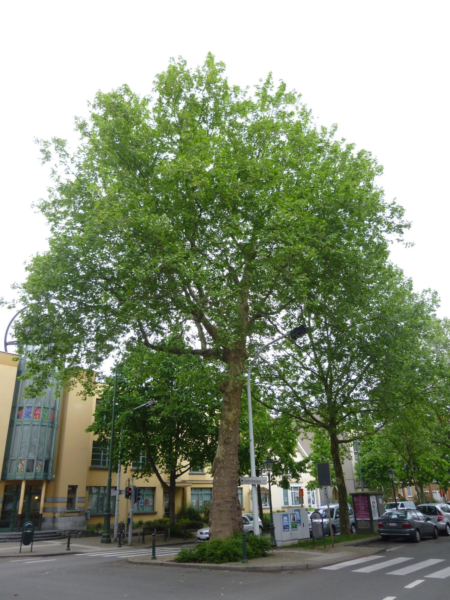 Platane à feuille d'érable – Jette, Boulevard de Smet de Naeyer –  05 Mai 2014