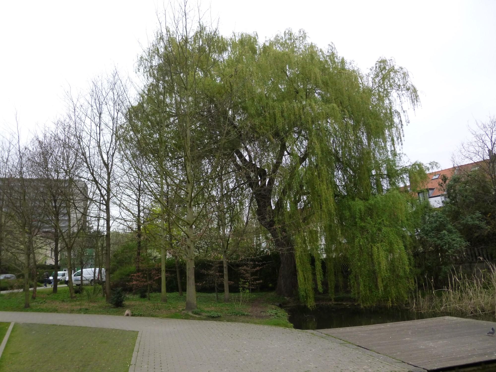 Saule pleureur – Watermael-Boitsfort, Parc de la Héronnière, Rue des Pêcheries –  08 Mai 2014