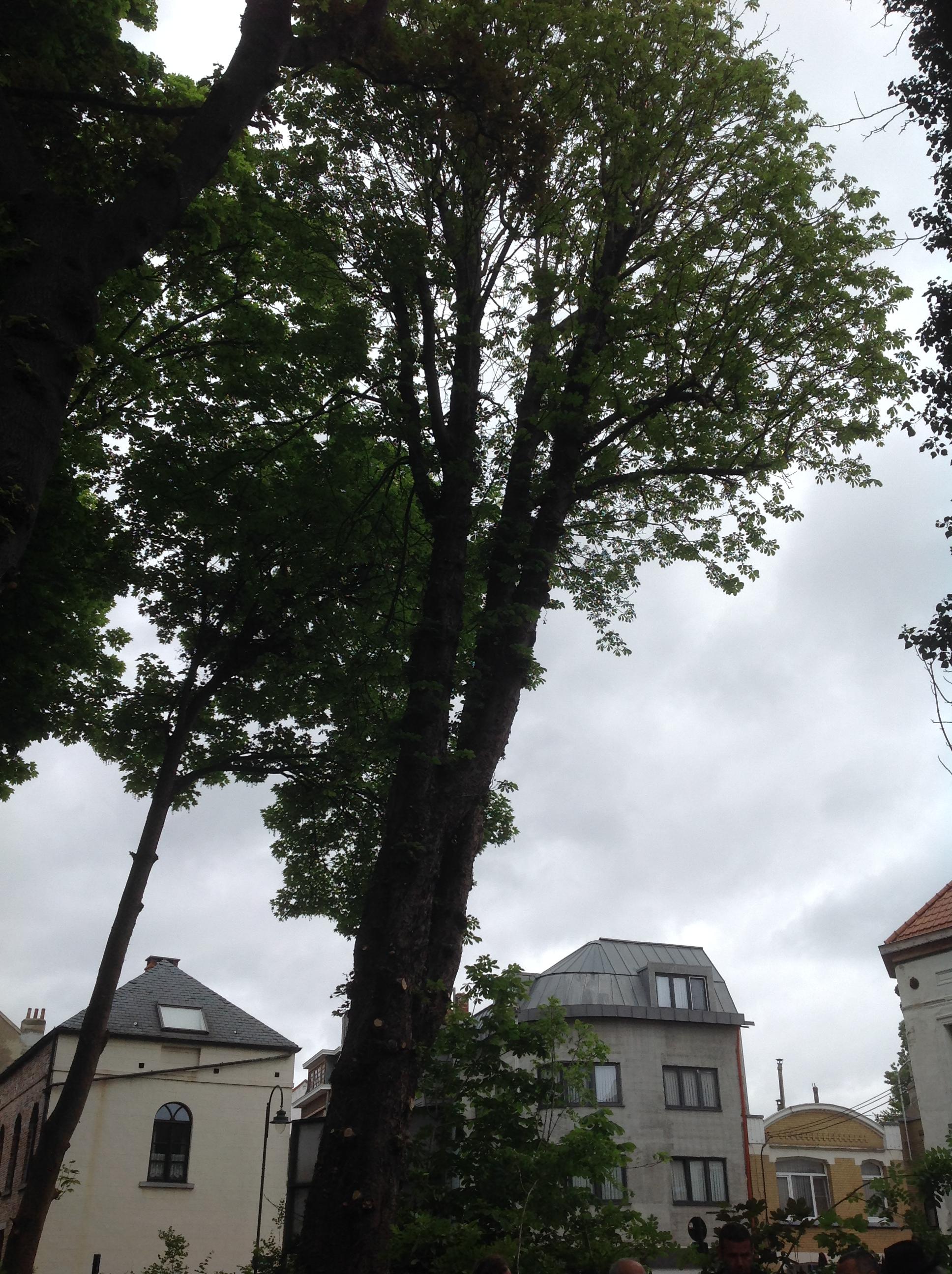 Marronnier commun – Bruxelles, Square Prince Charles –  08 Mai 2014