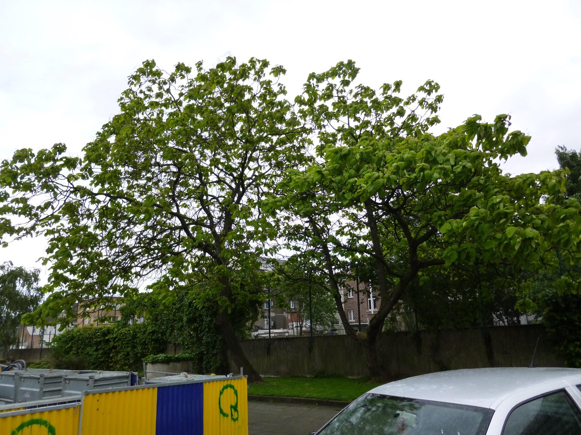 Catalpa commun – Jette, Rue Jean-Baptiste Serkeyn –  12 Mai 2014