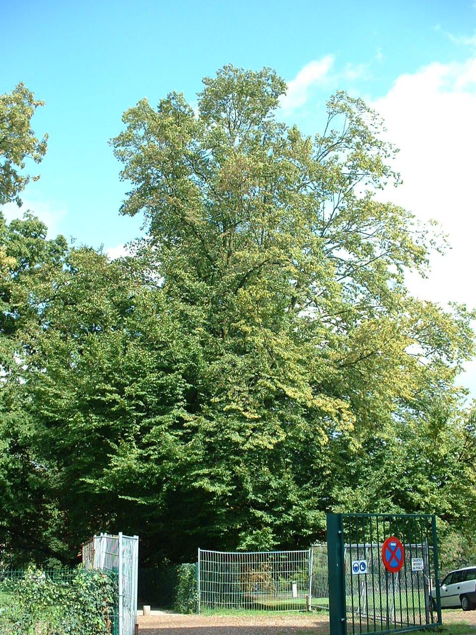 Charme commun – Bruxelles, Parc privé de l'Institut royal des Sciences naturelles de Belgique et chemin des Chablis, parc –  28 Août 2006