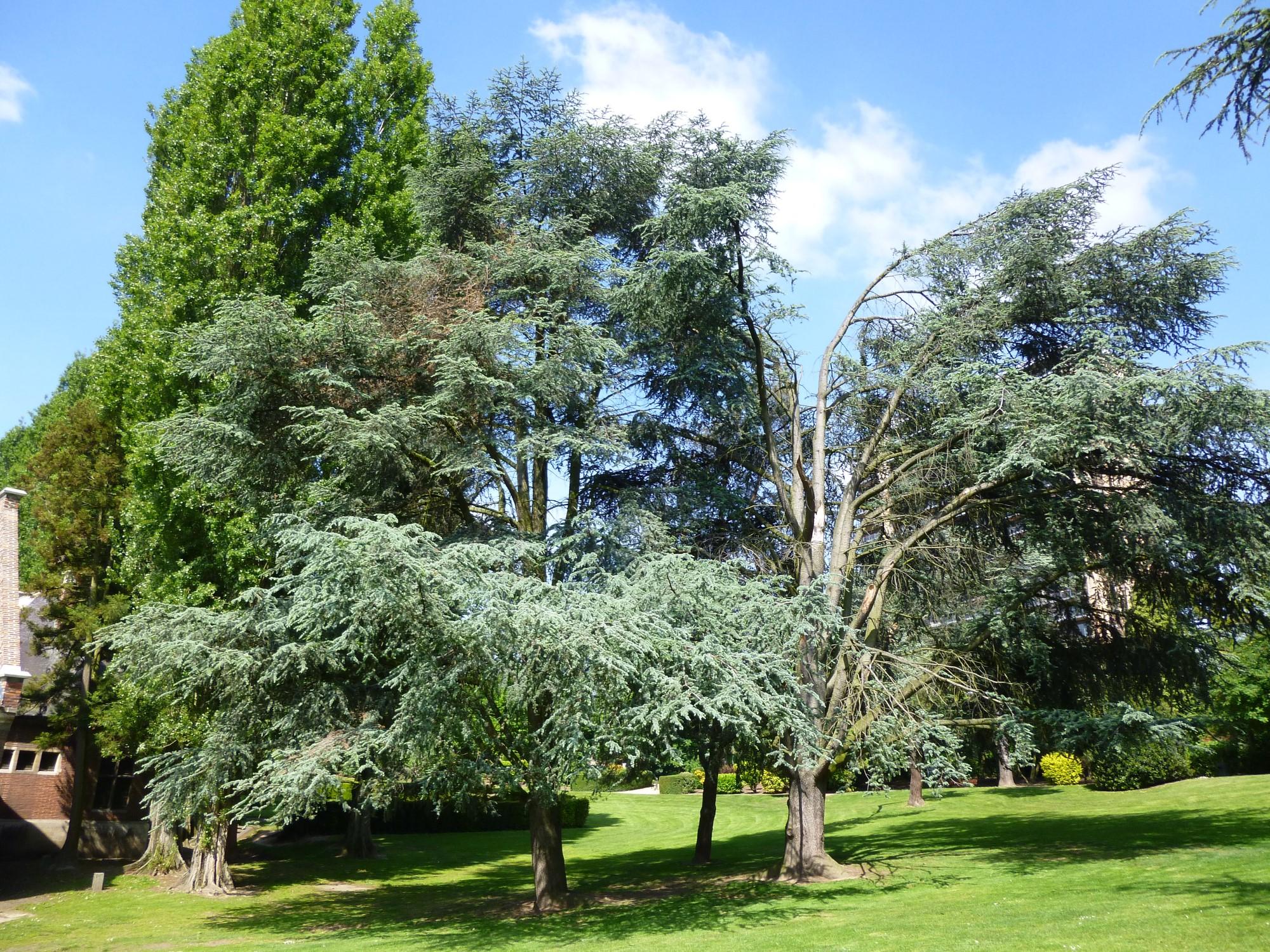 Blauwe ceder – Sint-Jans-Molenbeek, Karreveldpark –  16 Mei 2014