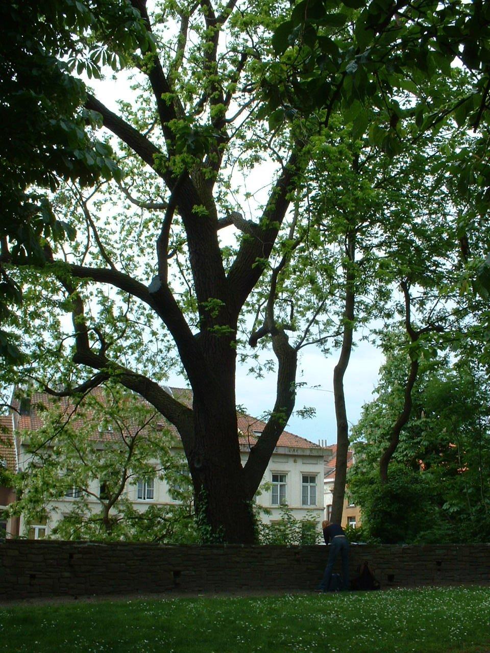 Noyer noir – Bruxelles, Parc privé de l'Institut royal des Sciences naturelles de Belgique et chemin des Chablis, Rue Vautier, 29 –  21 Mai 2002