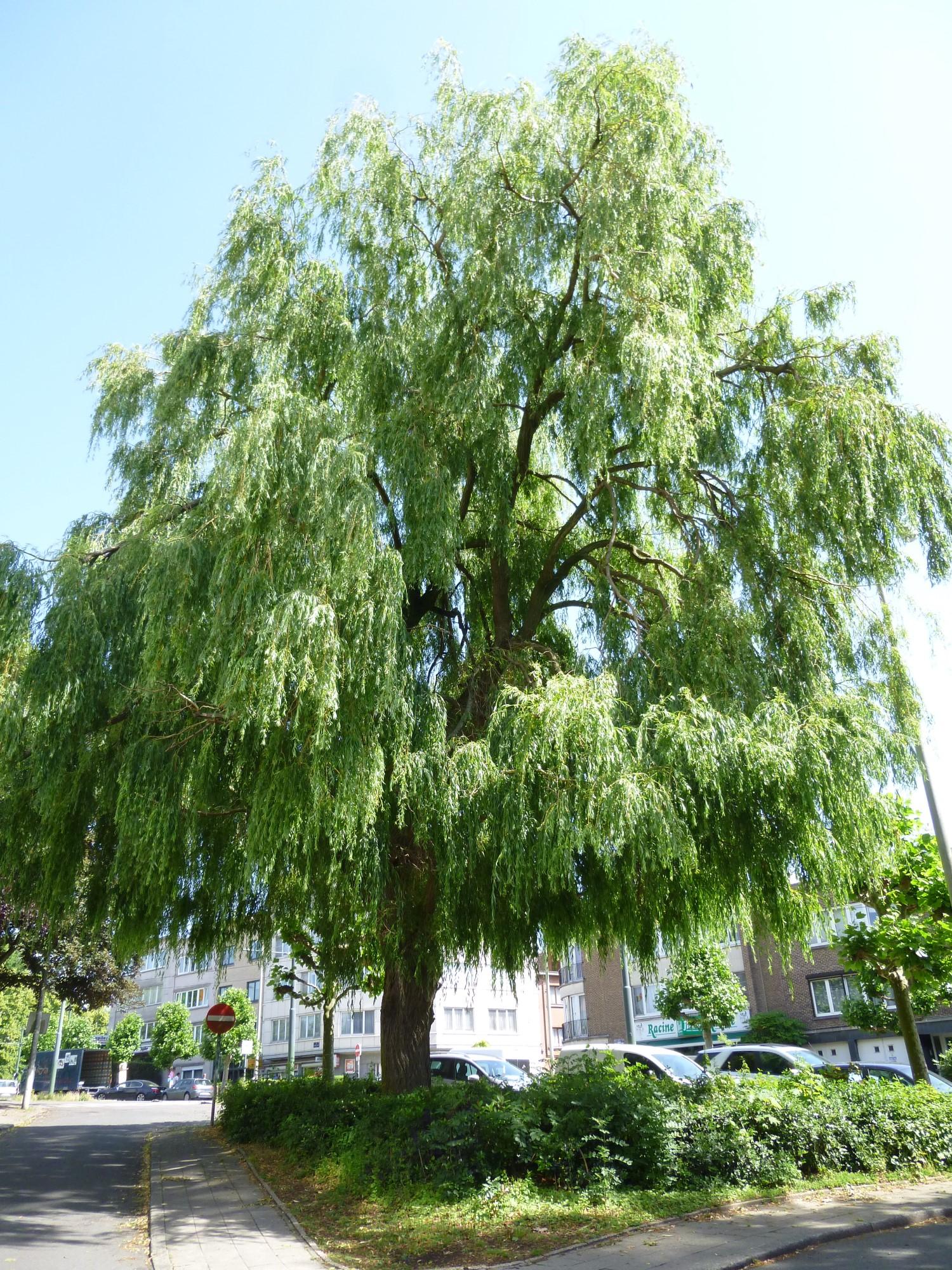 Saule pleureur – Jette, Avenue Guillaume De Greef –  10 Juin 2014