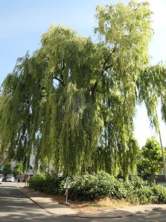 Saule pleureur – Jette, Avenue Guillaume De Greef –  23 Juin 2020
