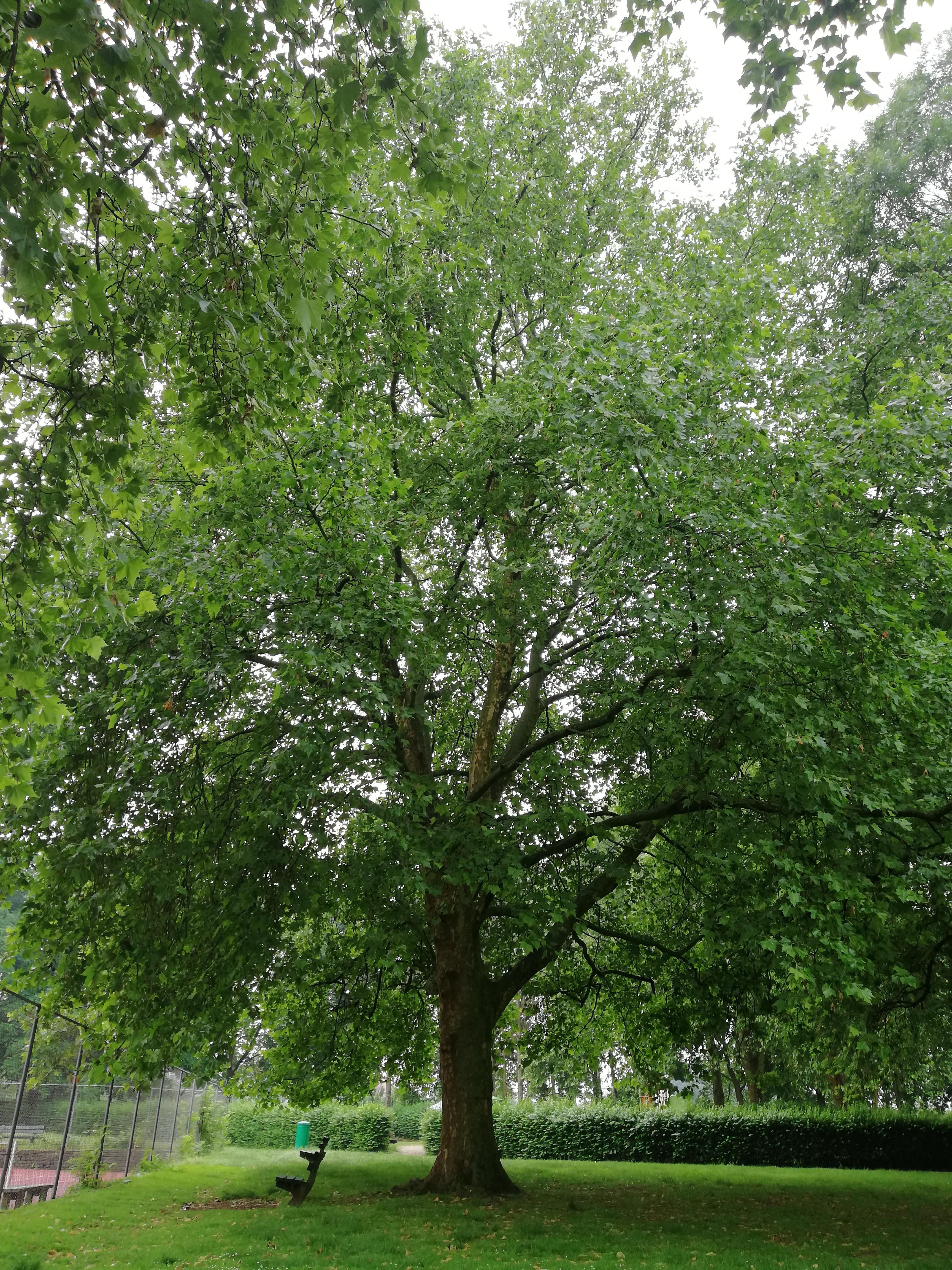 Platane à feuille d'érable – Jette, Parc de la Jeunesse, Avenue du Comté de Jette –  07 Juin 2018