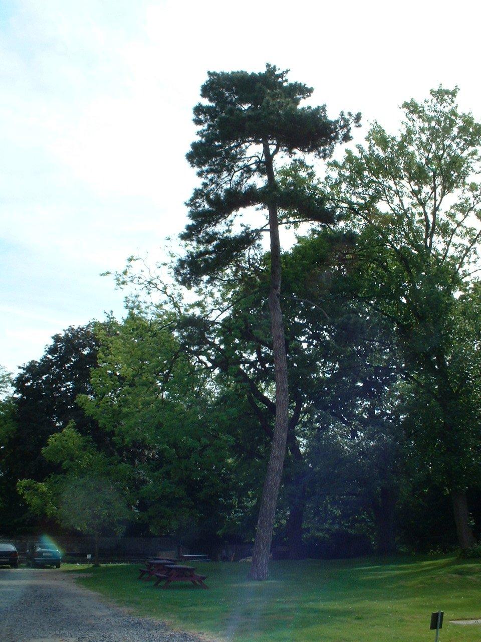 Pin noir – Bruxelles, Parc privé de l'Institut royal des Sciences naturelles de Belgique et chemin des Chablis, Rue Vautier, 31 –  21 Mai 2002