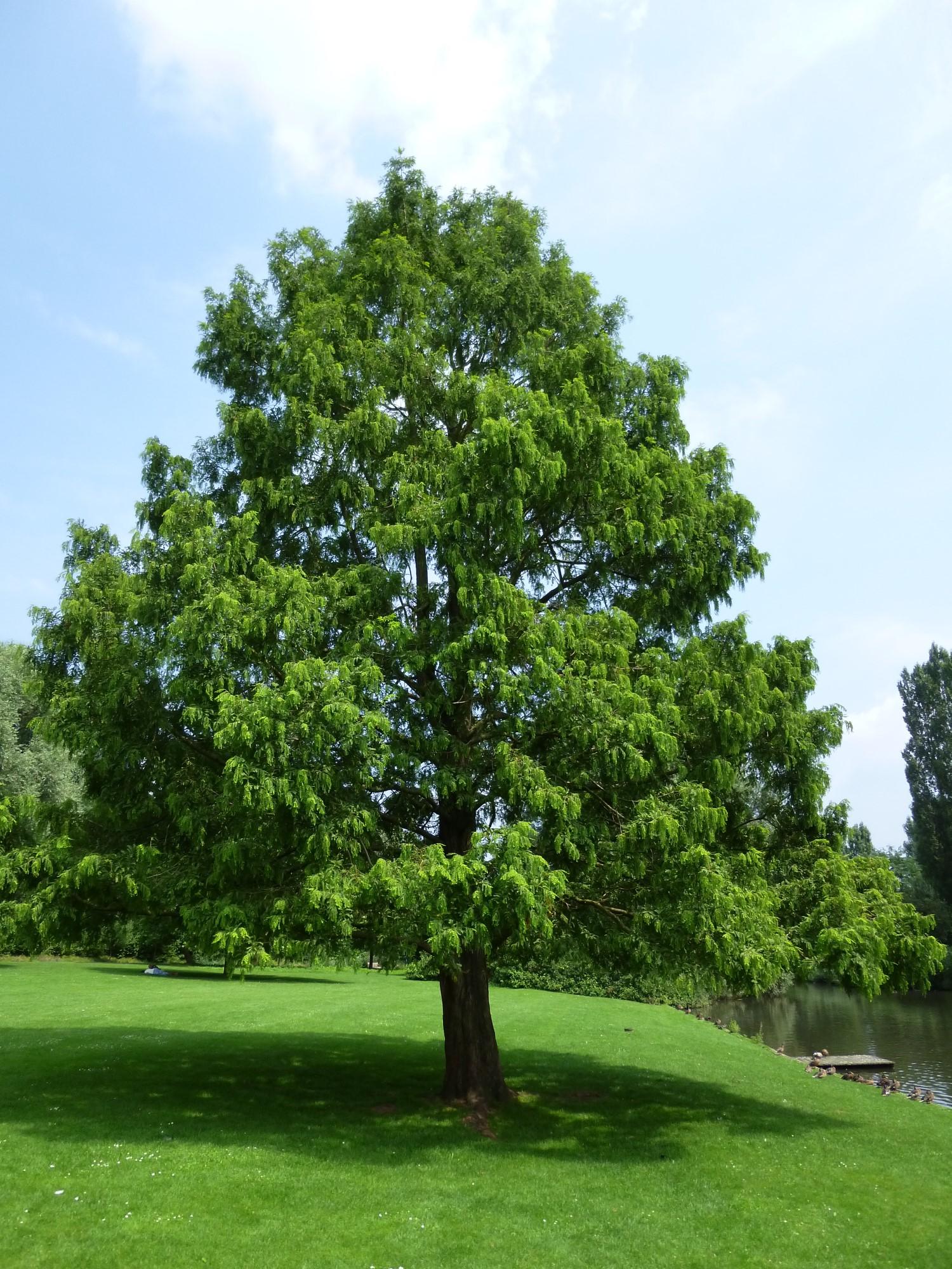chineze sequoia – Jette, Koning Baudouwijnpark 2 –  22 Juli 2014