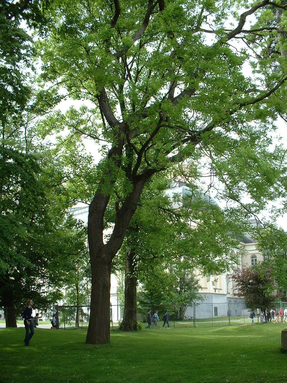 Sophora du Japon – Bruxelles, Parc privé de l'Institut royal des Sciences naturelles de Belgique et chemin des Chablis, Rue Vautier, 31 –  21 Mai 2002