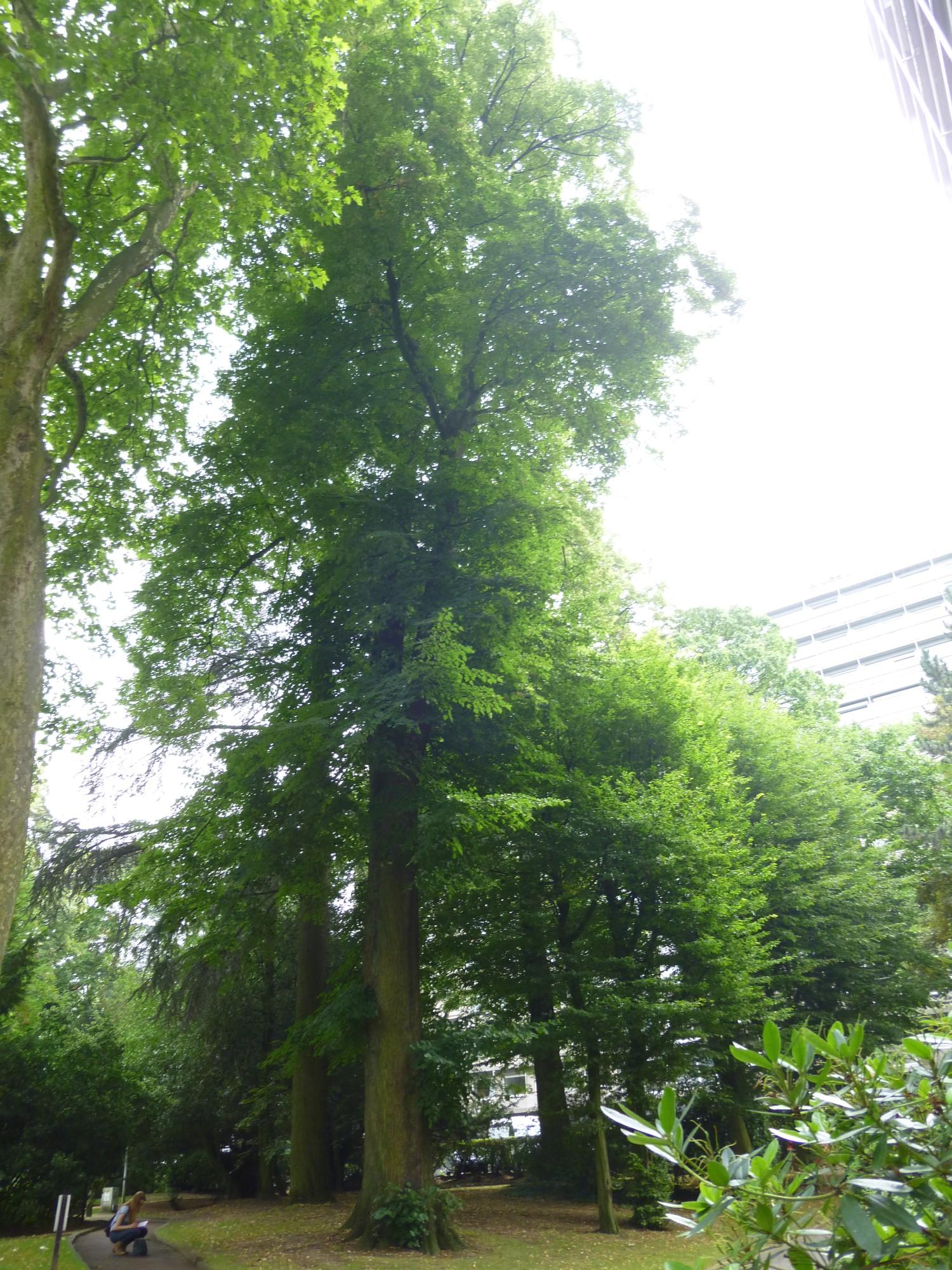 Tilleul commun – Watermael-Boitsfort, Avenue Emile Van Becelaere, 24-26 –  29 Juillet 2014