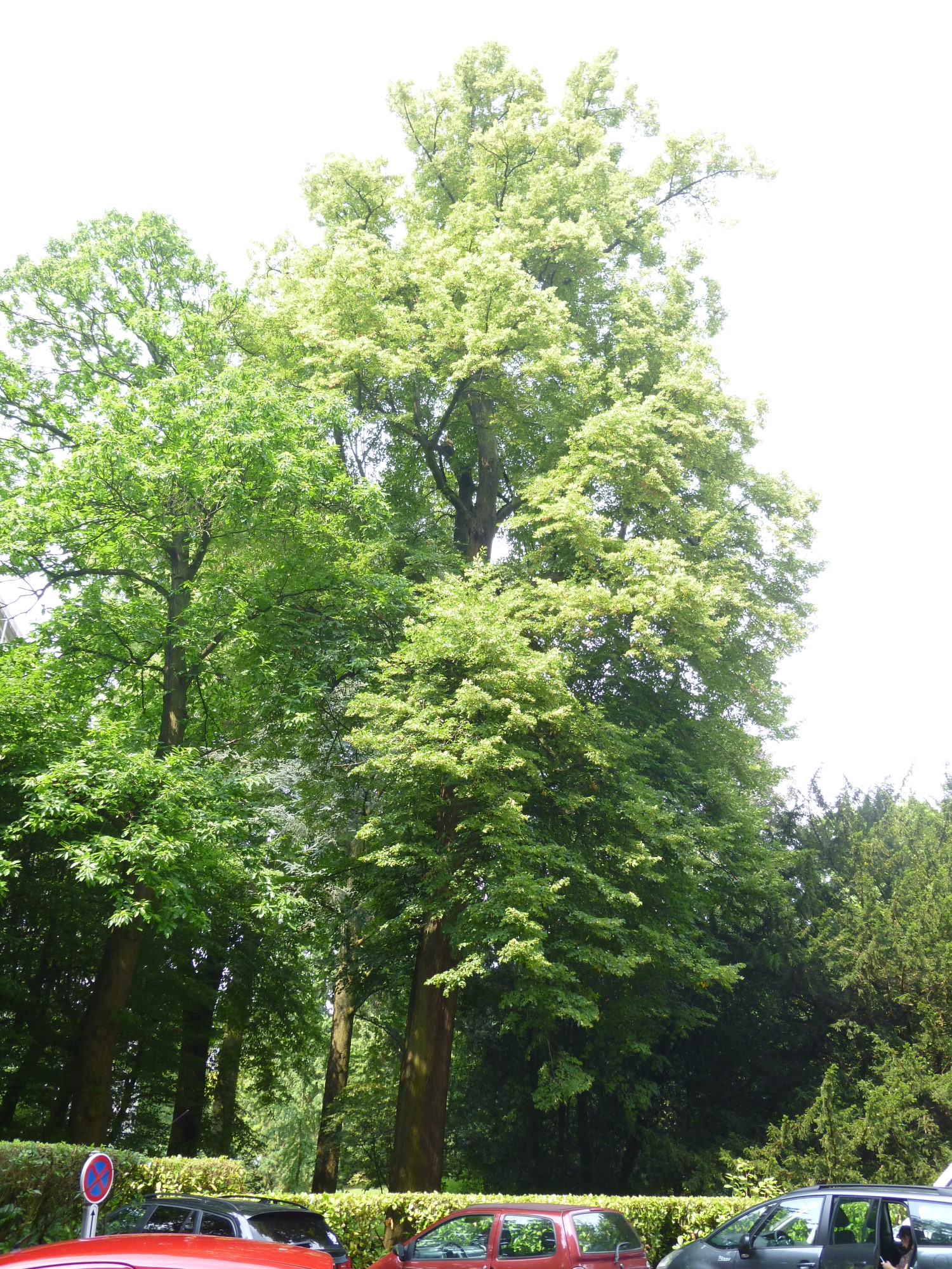 Tilia sp – Watermael-Boitsfort, Avenue Emile Van Becelaere, 24-26 –  29 Juillet 2014