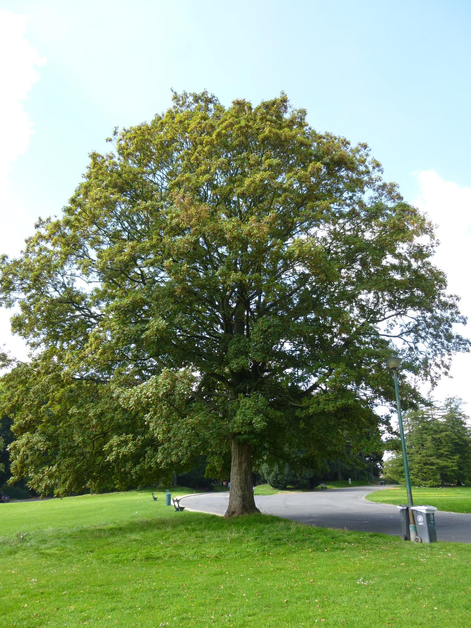 Erable sycomore – Bruxelles, Parc public de Laeken –  10 Septembre 2014