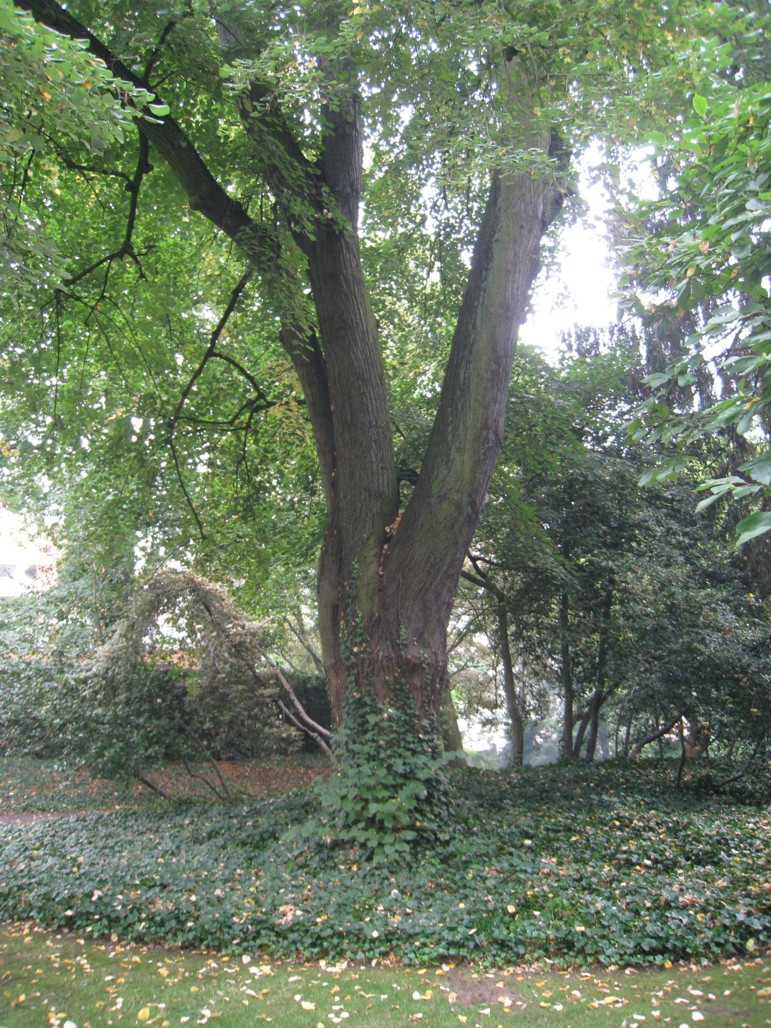 Tilleul argenté pleureur – Ixelles, Parc Solvay, Rue des Champs Elysées, 43 –  24 Septembre 2014