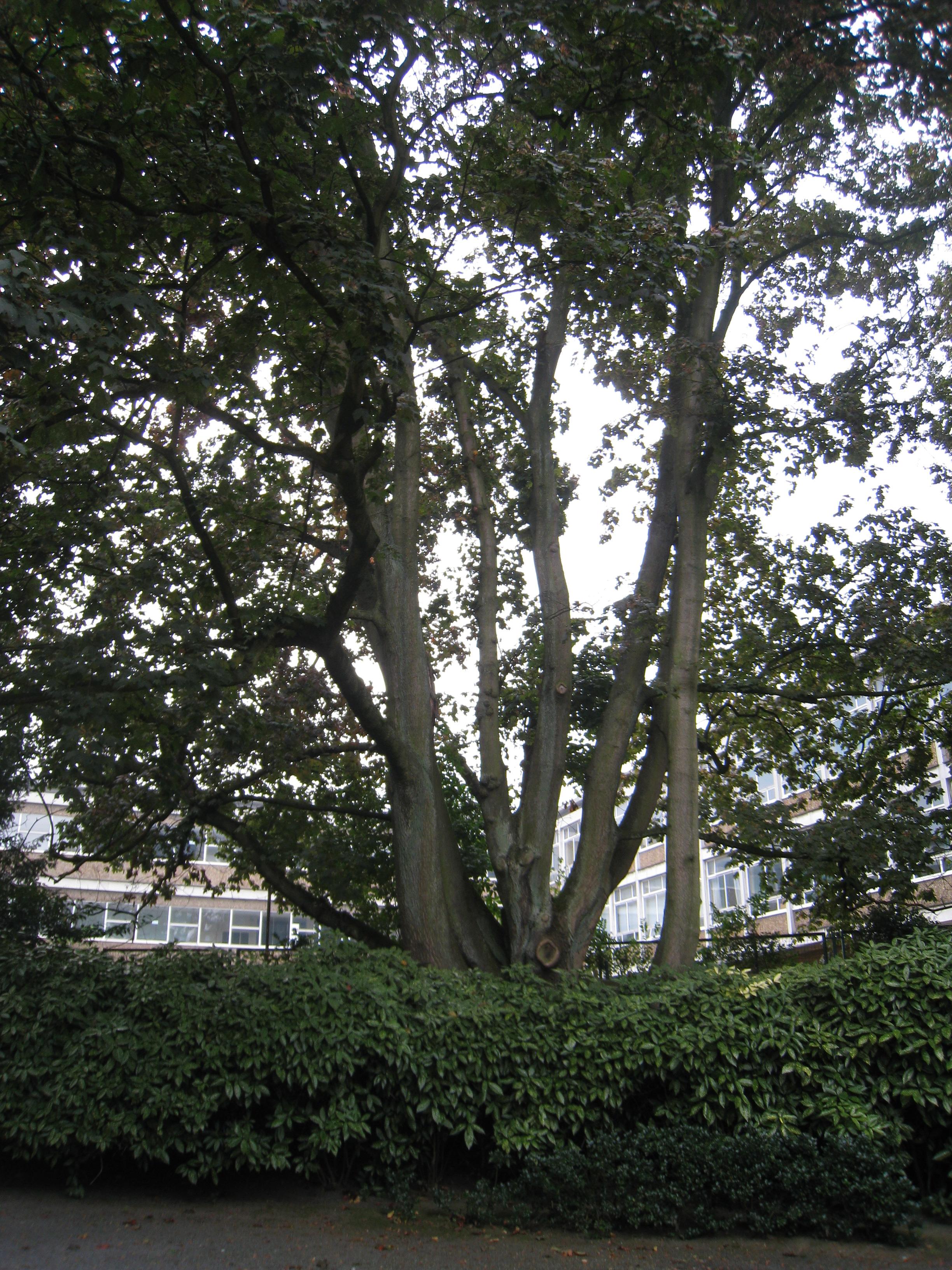 Acer platanoides f. rubrum – Ixelles, Parc Solvay, Rue des Champs Elysées, 43 –  24 Septembre 2014