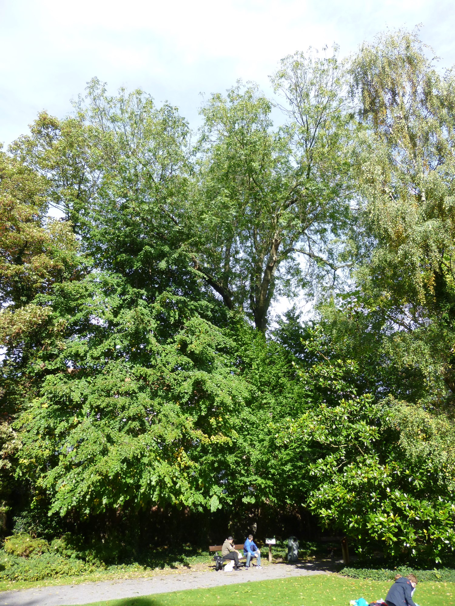 Frêne commun – Etterbeek, Jardin Jean Félix Hap –  15 Octobre 2014