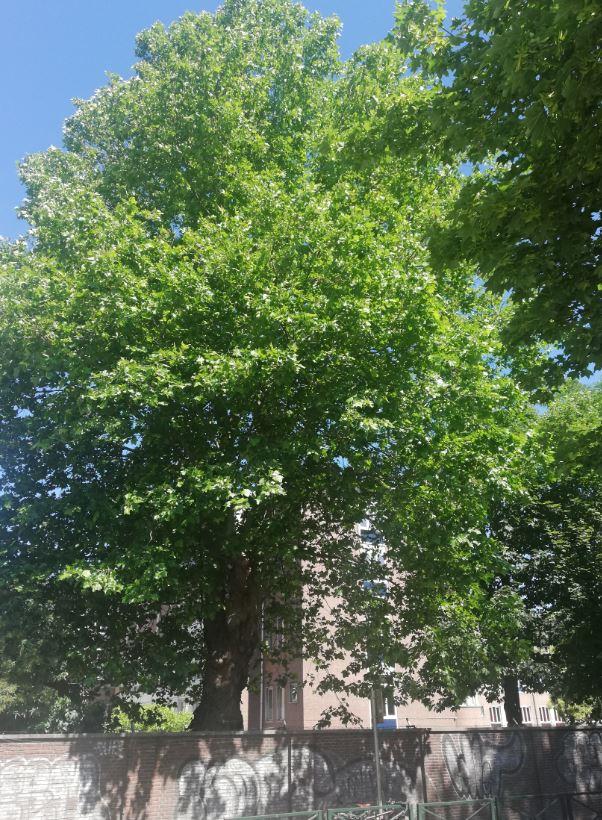 Platane à feuille d'érable – Ganshoren, Avenue des Gloires Nationales, 126 –  02 Juillet 2020