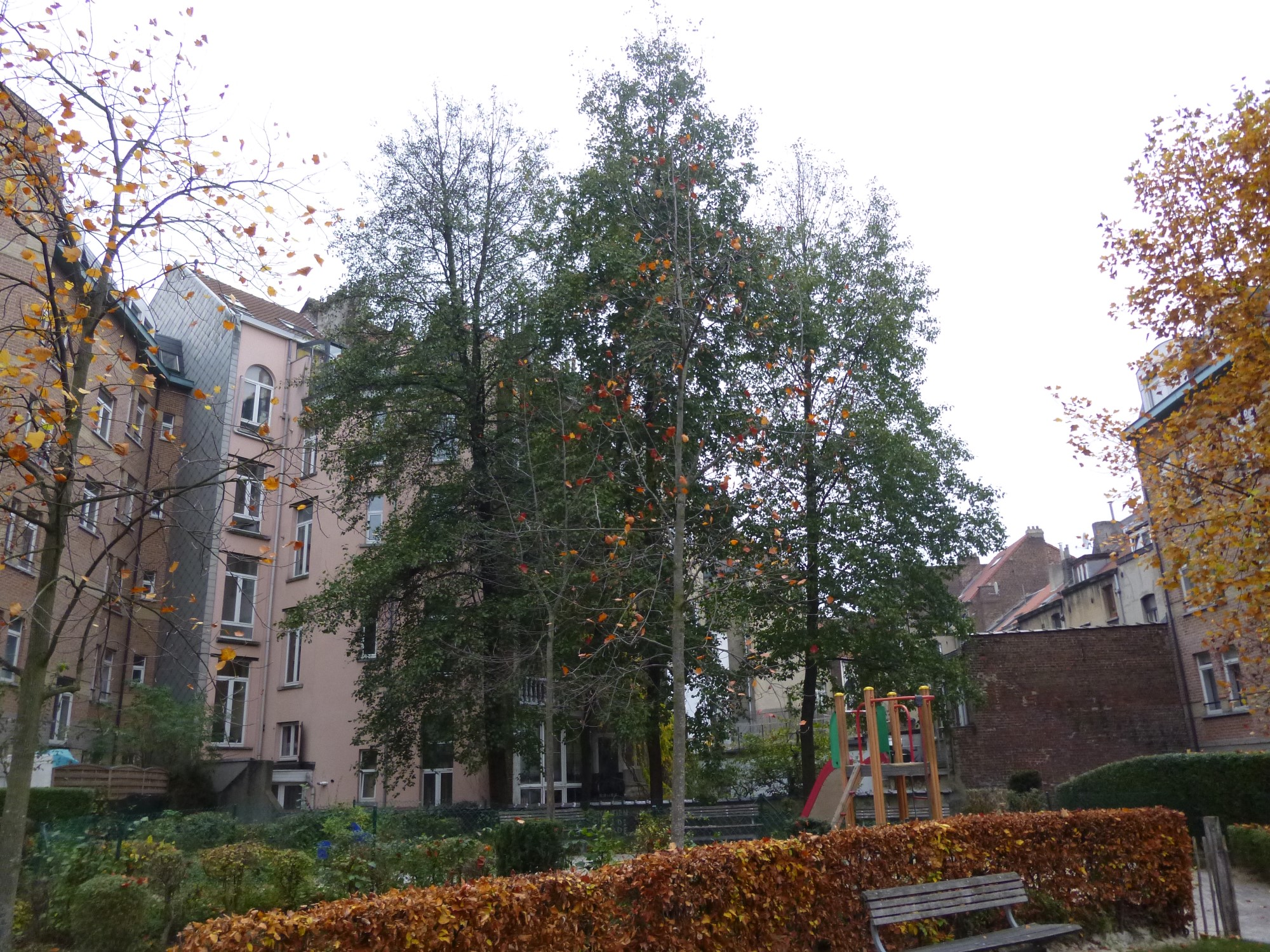 Aulne à feuilles cordées – Saint-Gilles, Chaussée de Waterloo, 203 –  03 Décembre 2014