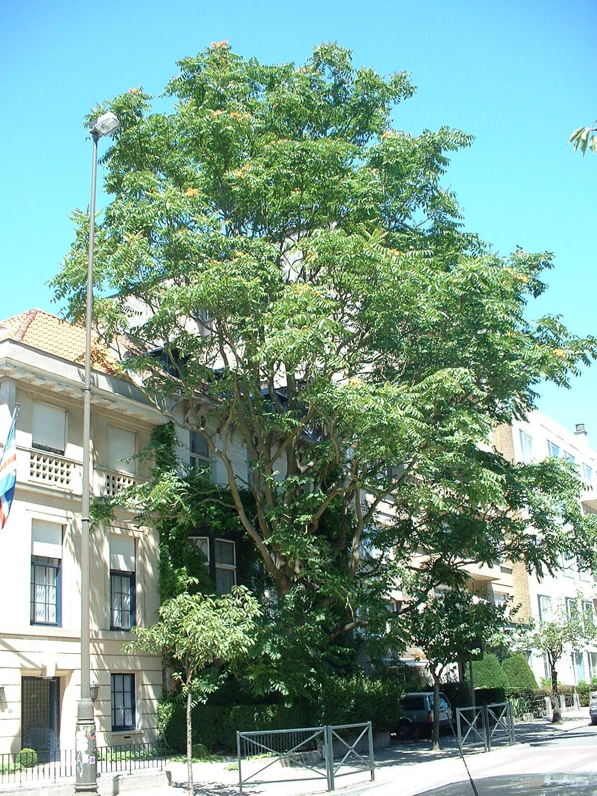 Ailante glanduleux – Bruxelles, Avenue Jeanne, 27 –  14 Juillet 2003