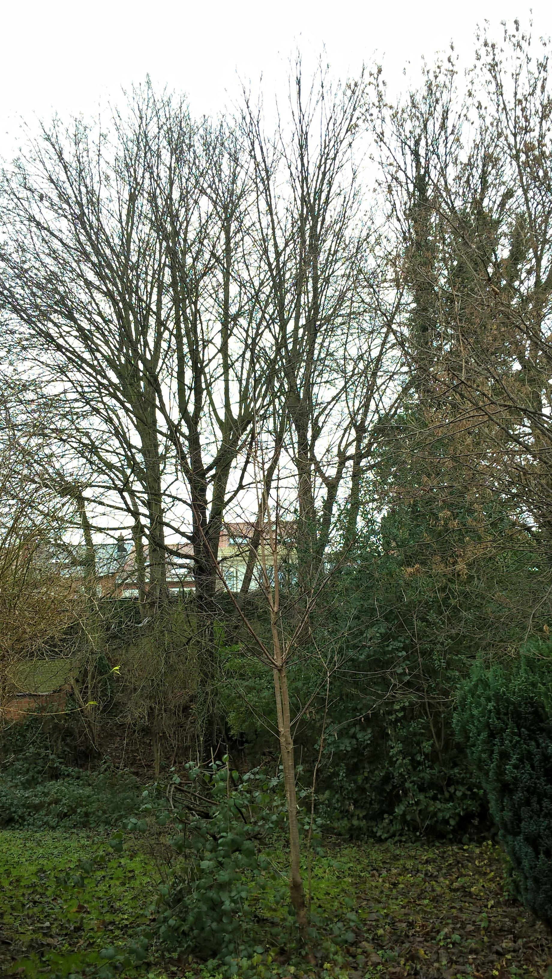 Frêne commun – Jette, Avenue du Sacré-Coeur, 83 –  09 Janvier 2017