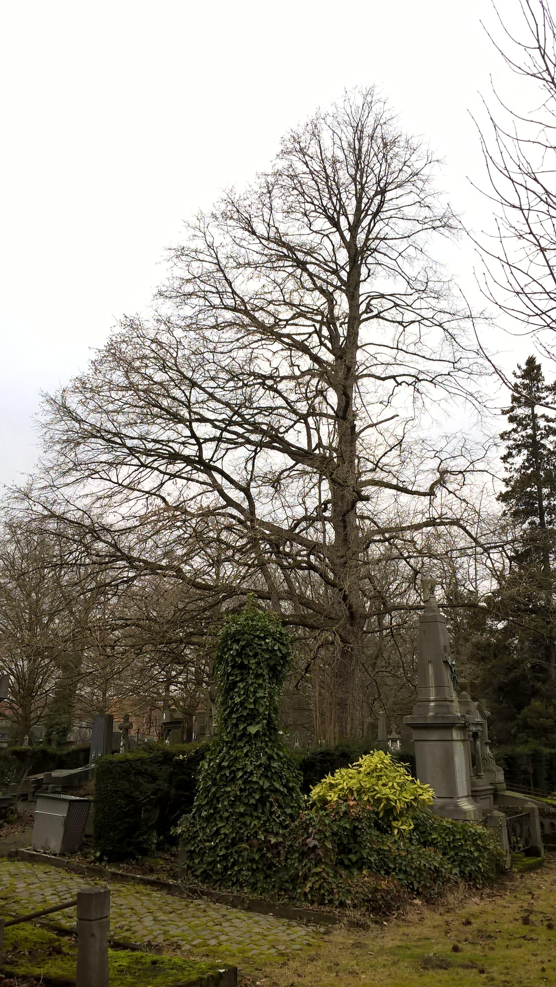Noisetier de Byzance – Evere, Cimetière de Bruxelles –  06 Février 2017