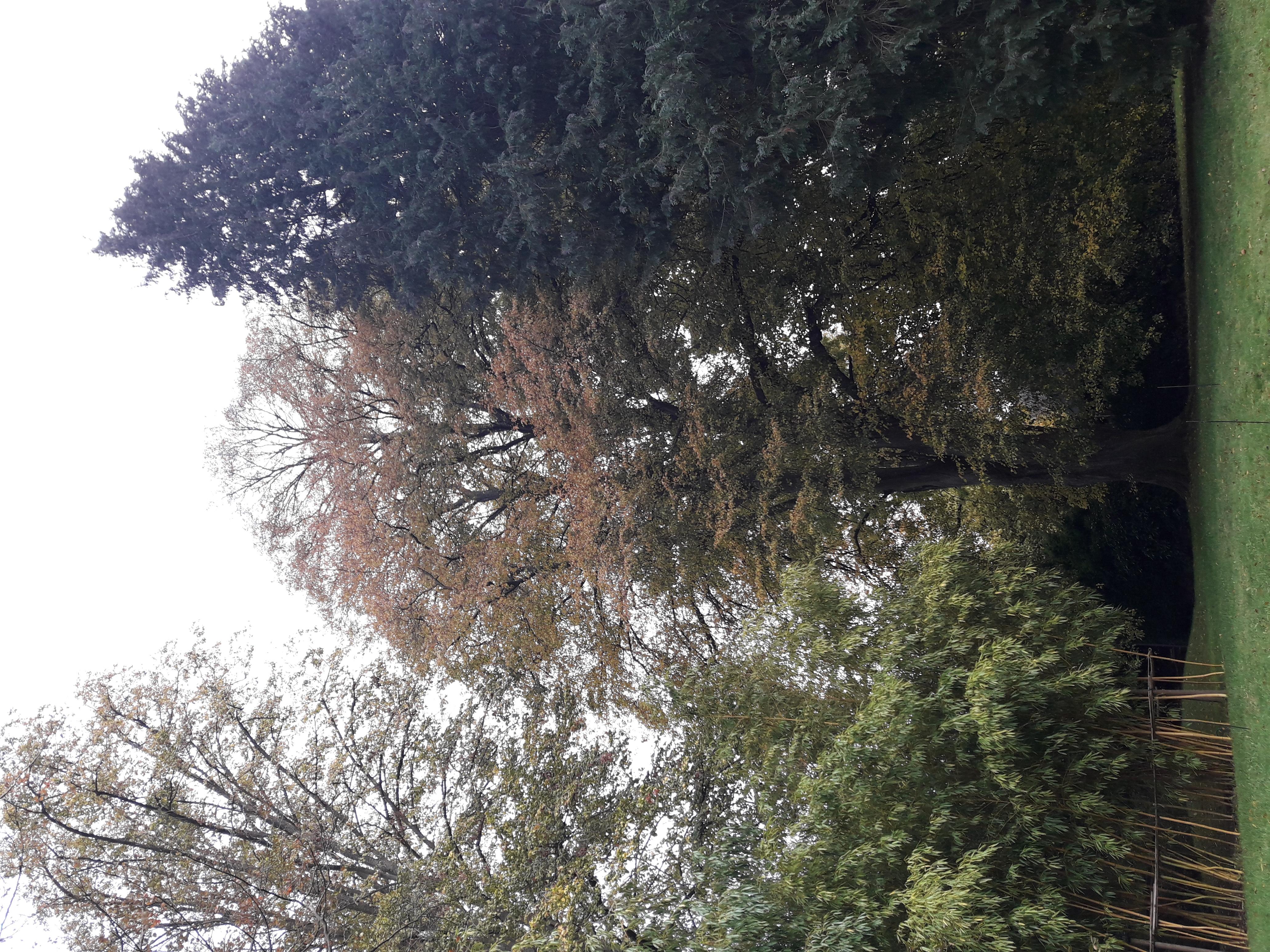 Tilleul argenté pleureur – Uccle, Avenue des Sorbiers, 1 –  26 Octobre 2020