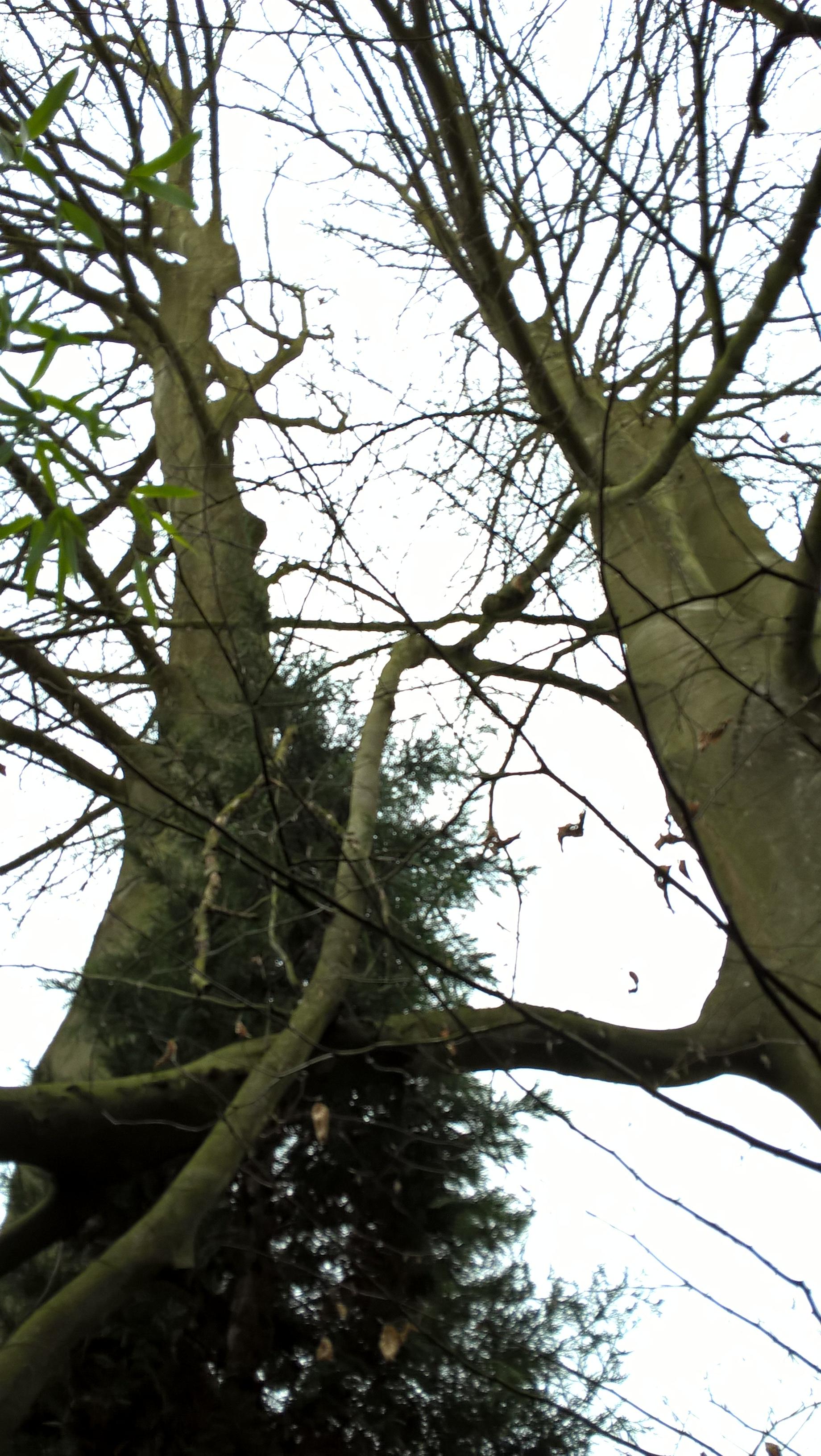 Hêtre pourpre – Uccle, Avenue des Sorbiers, 1 –  29 Mars 2017
