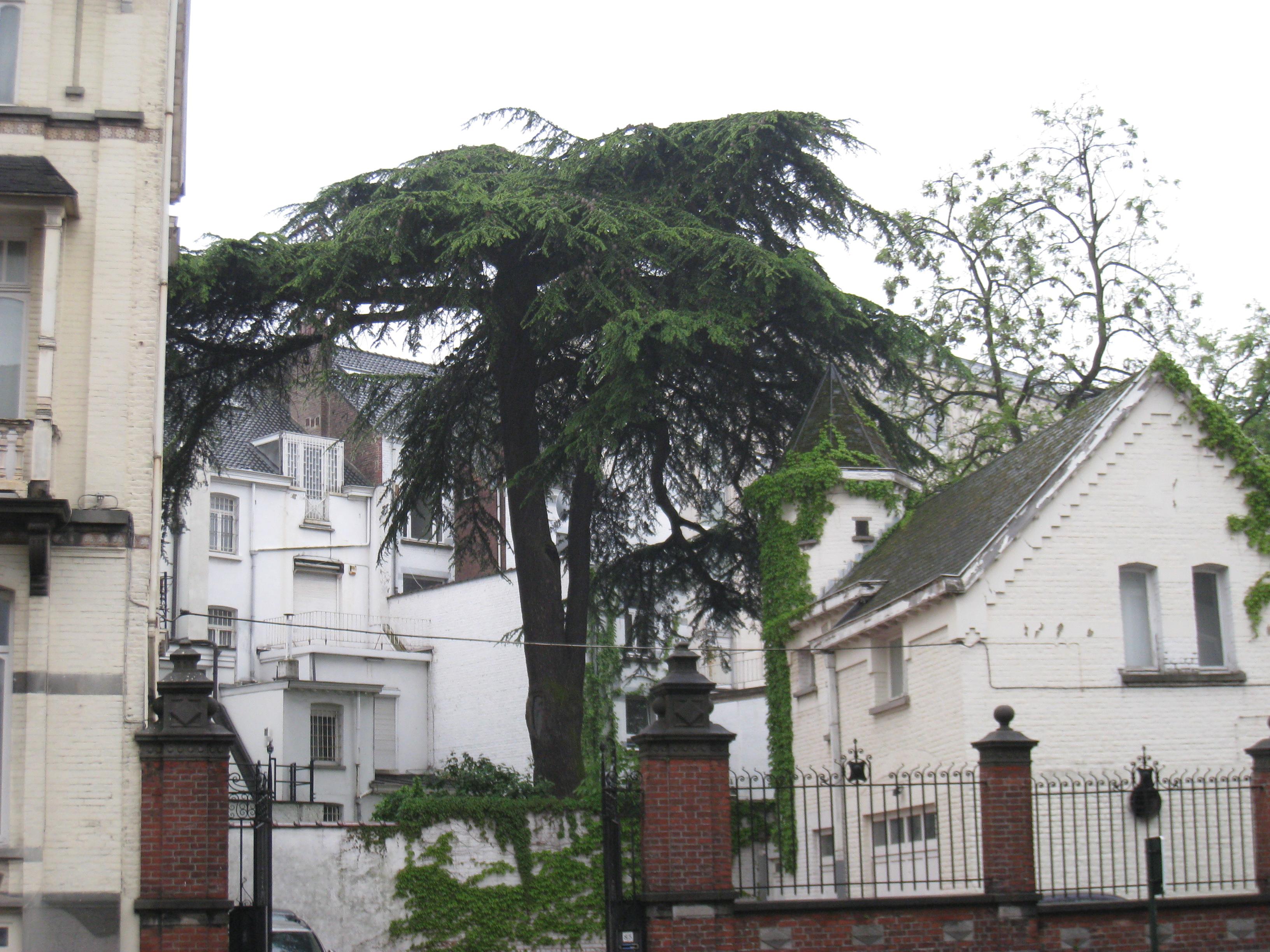 Cèdre du Liban – Bruxelles, Avenue Palmerston, 20 –  28 Avril 2011