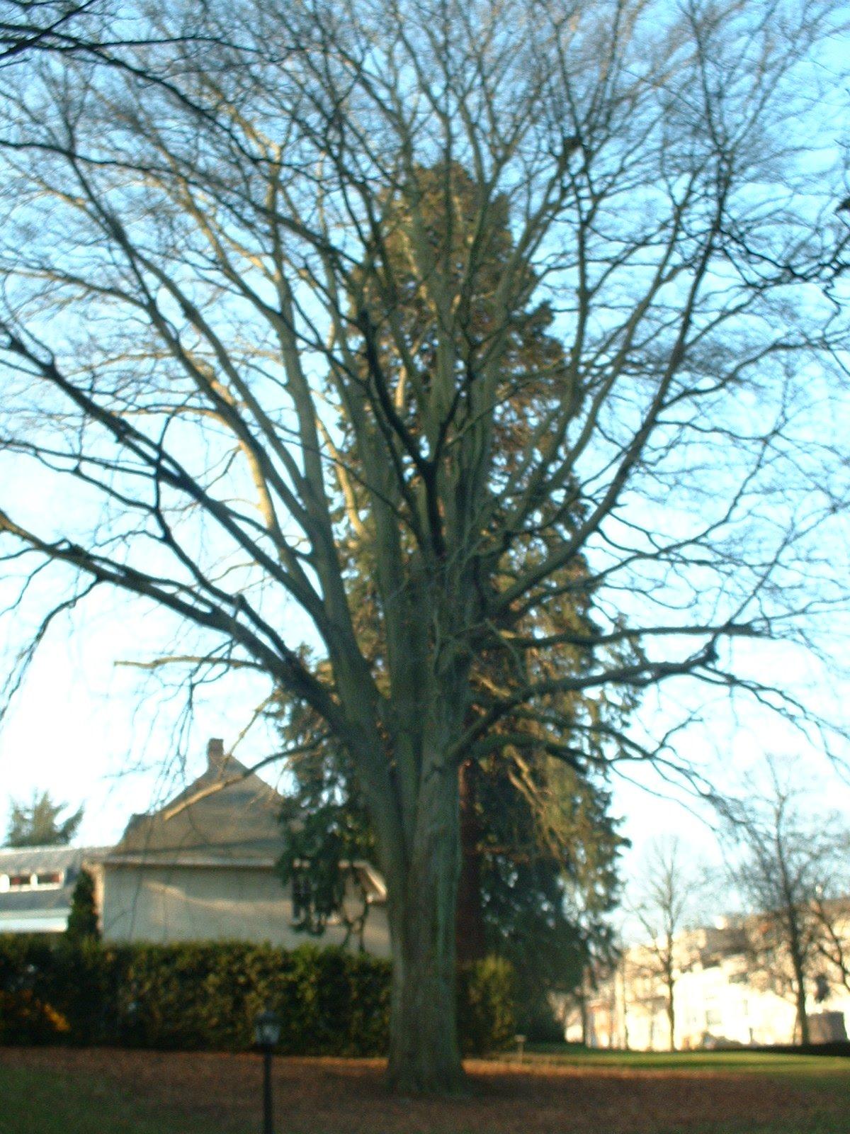 Hêtre pourpre – Bruxelles, Avenue Franklin Roosevelt, 117 –  13 Février 2003