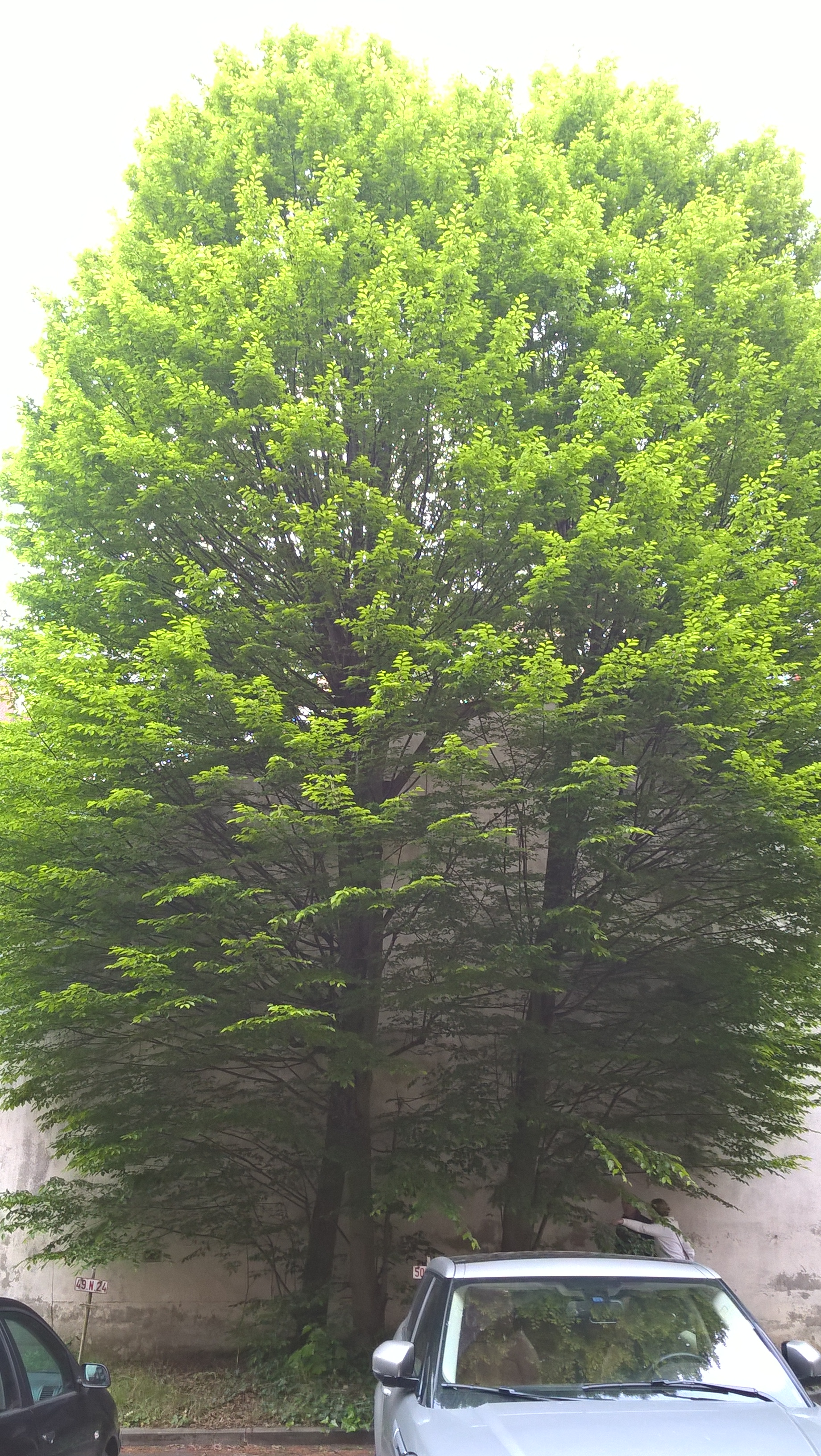 Carpinus betulus f. fastigiata – Bruxelles, Rue Van Eyck, 50 –  08 Mai 2017