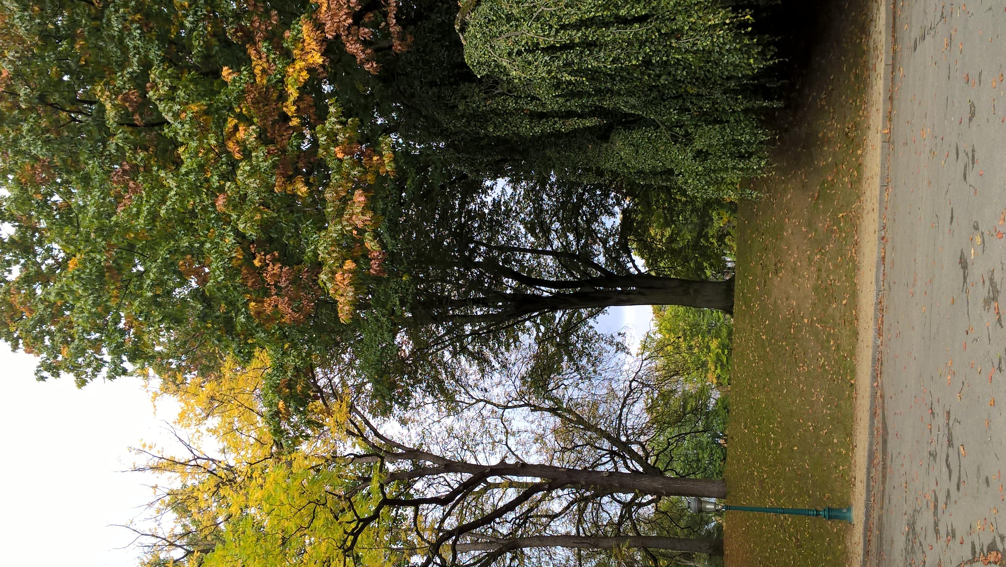 Hêtre pourpre – Woluwé-Saint-Pierre, Parc de Woluwe –  28 Septembre 2017