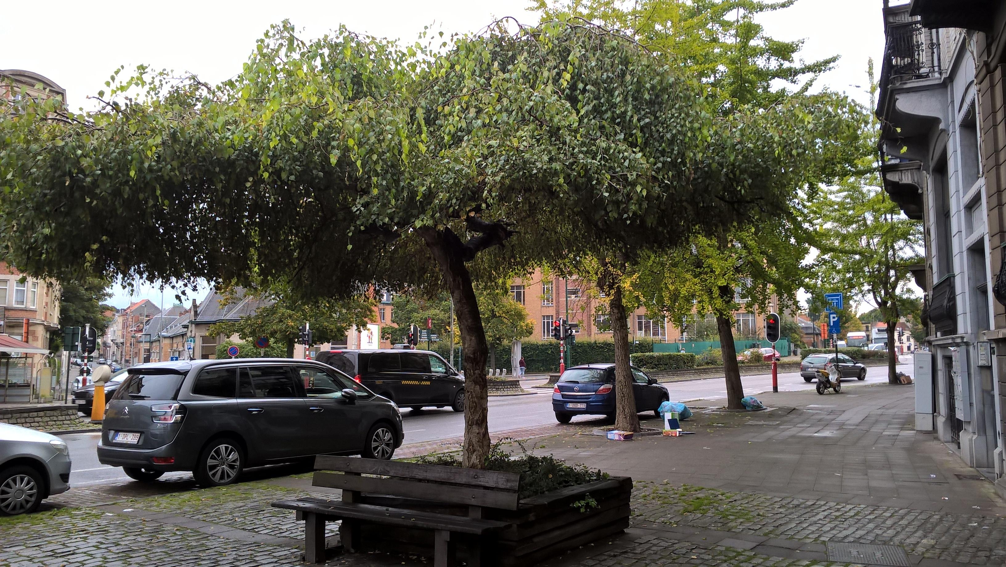 Betula pendula f. youngii – Bruxelles, Boulevard Emile Bockstael –  28 Septembre 2017