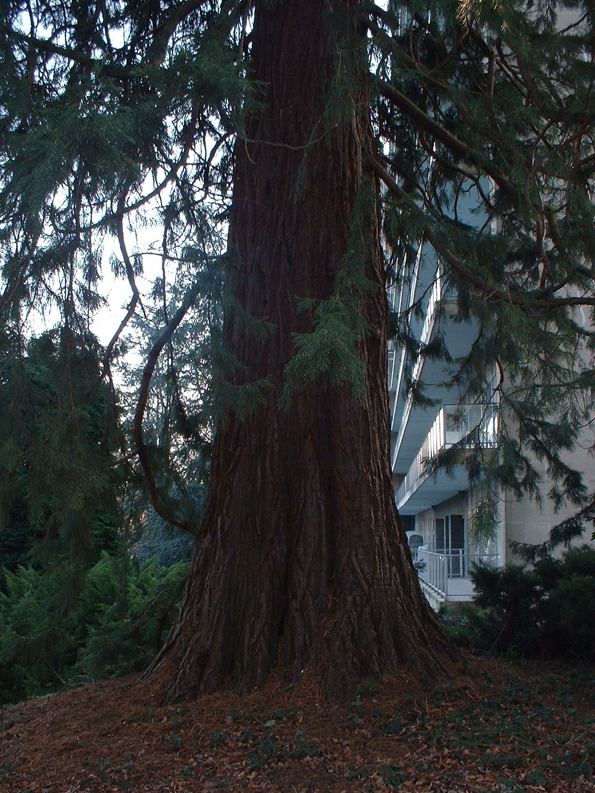 Sequoia géant – Bruxelles, Avenue Franklin Roosevelt, 117 –  13 Février 2003