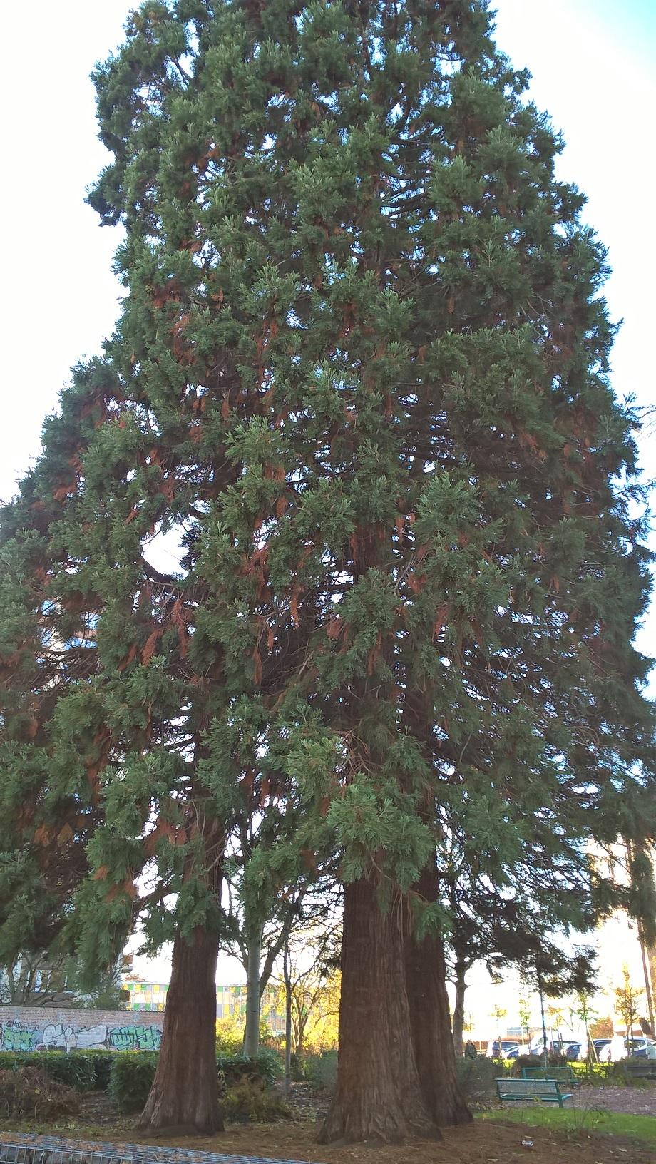Sequoia géant – Schaerbeek, Parc Albert ou Terdelt –  28 Novembre 2017