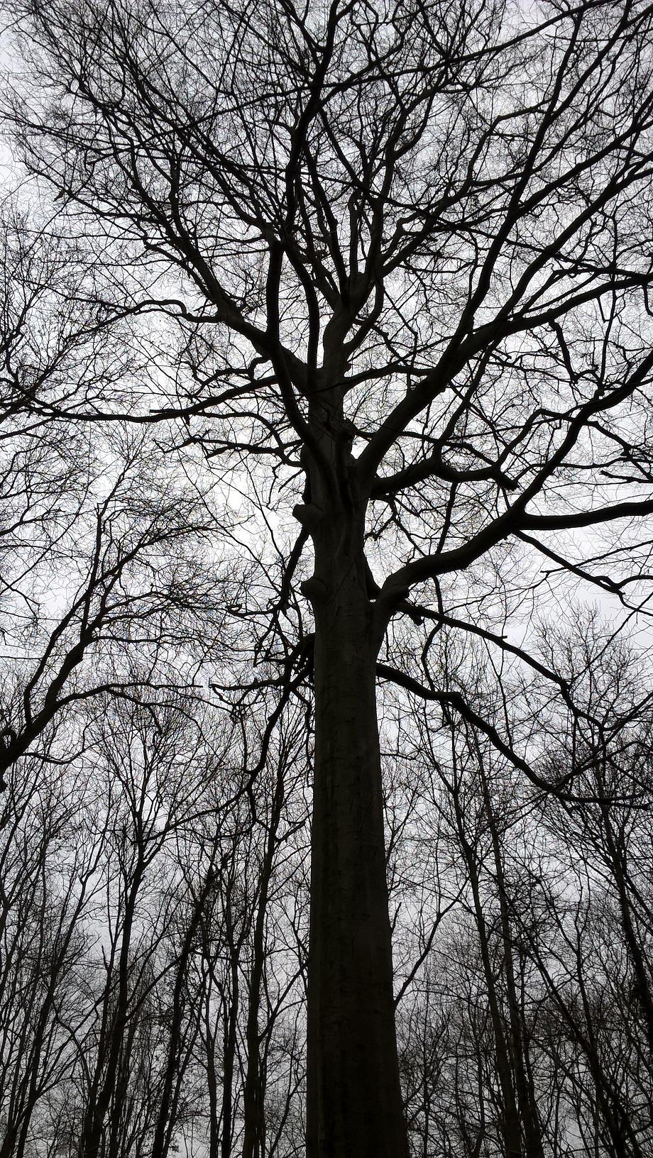Hêtre d'Europe – Jette, Bois de Dieleghem –  08 Mars 2018
