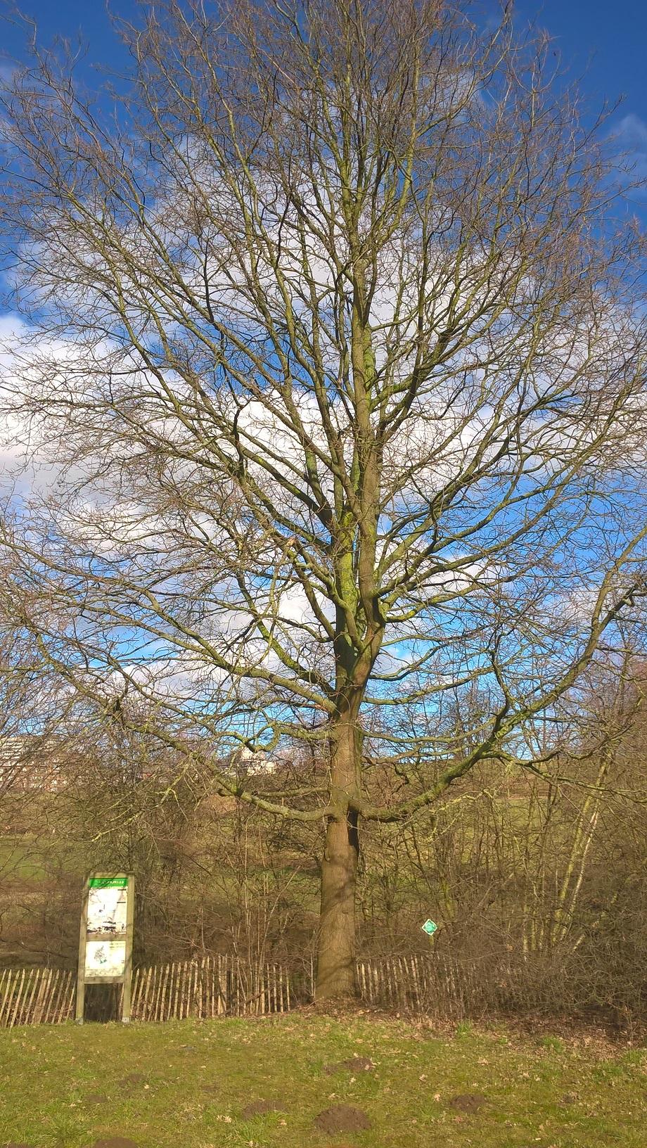 Chêne pédonculé – Berchem-Sainte-Agathe, Zavelenberg –  08 Mars 2018